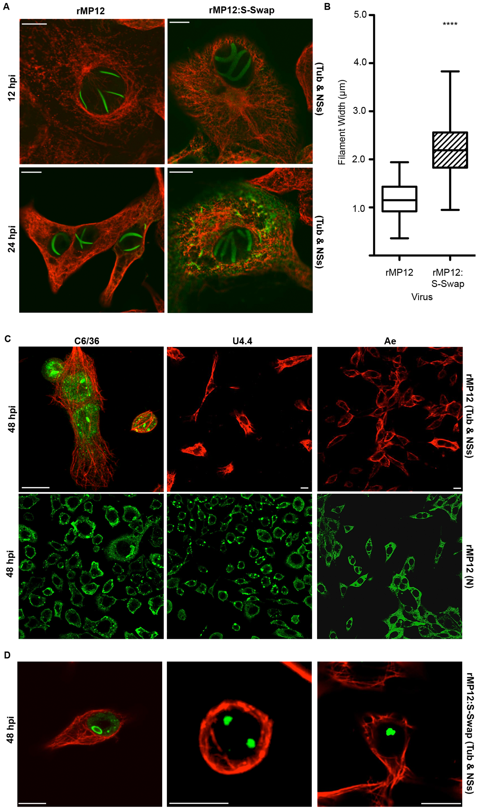 Intracellular localization of NSs in rMP12- or rMP12:S-Swap-infected cells.