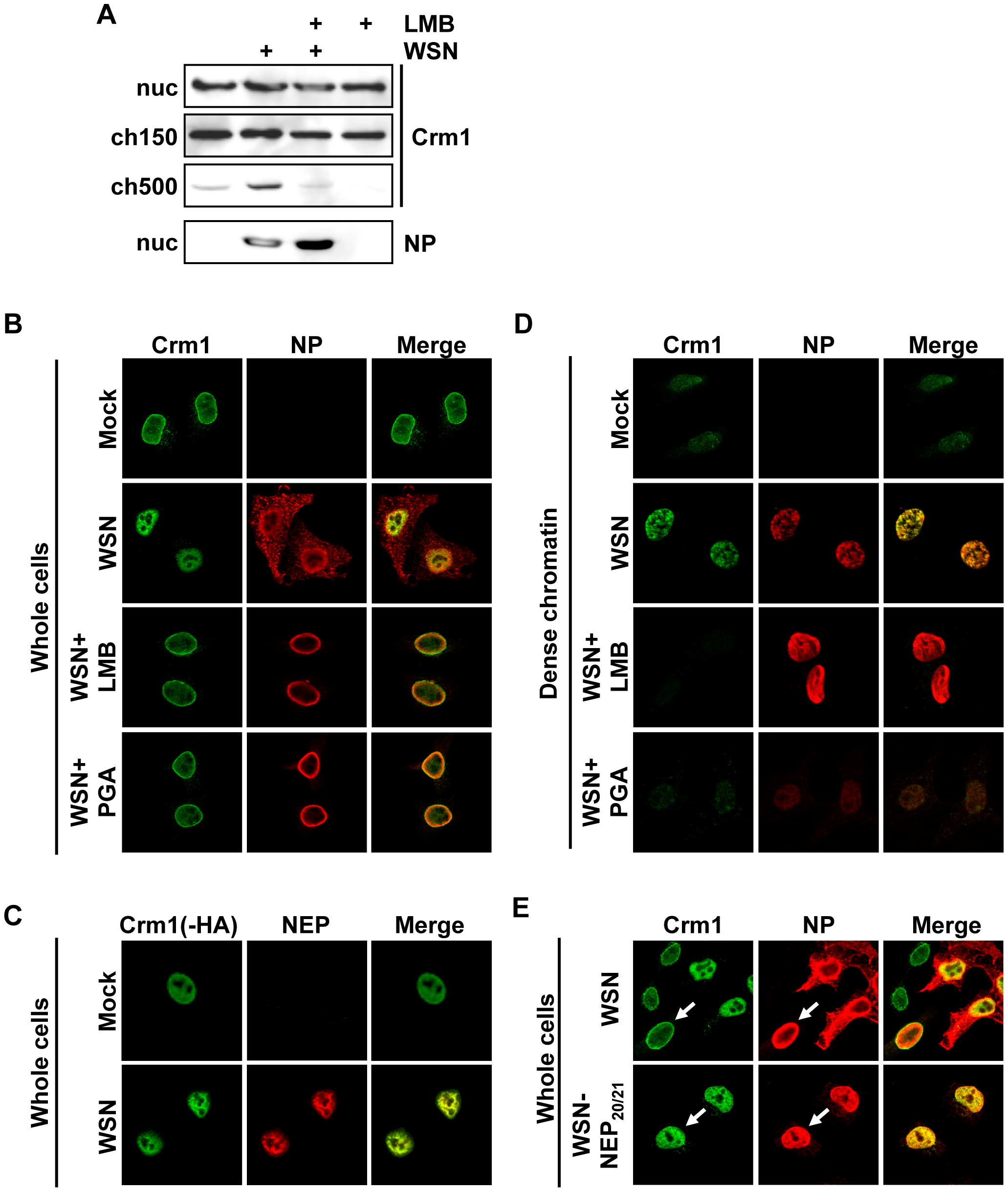 Relocalization of Crm1 to dense chromatin after influenza virus infection.