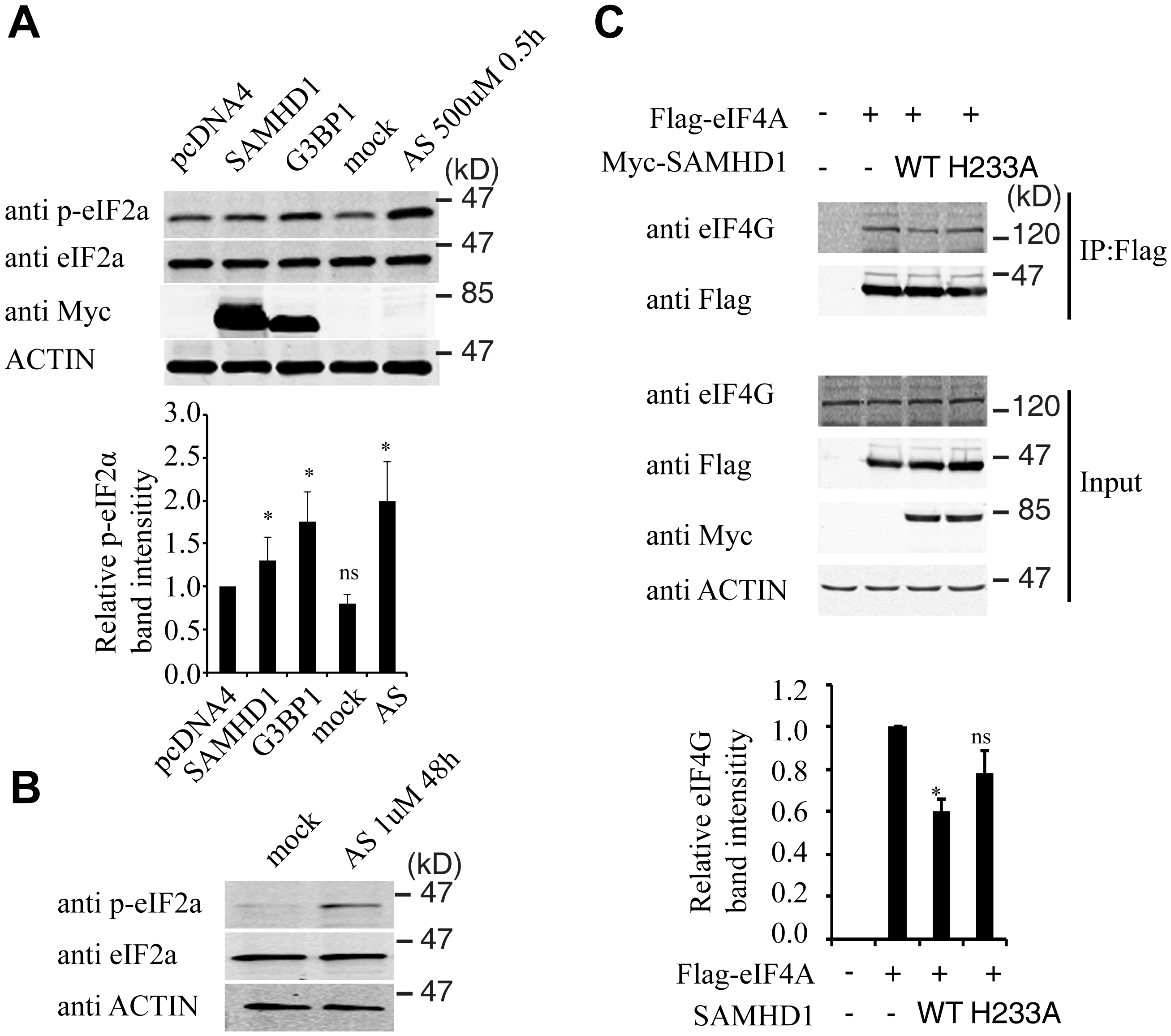 SAMHD1 modulates the phosphorylation of eIF2α and the interaction of eIF4G and eIF4A.