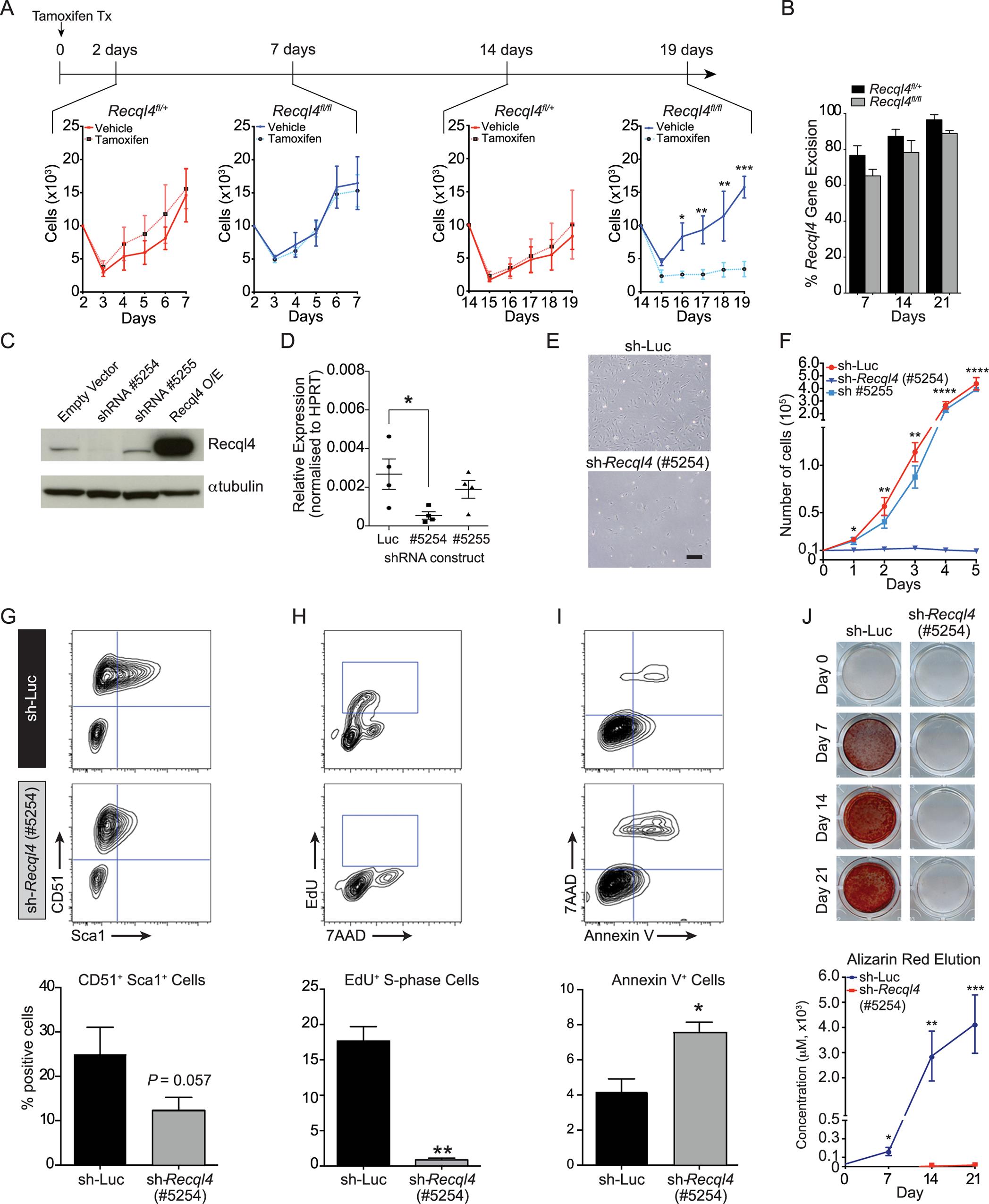The depletion of <i>Recql4 in vitro</i> causes proliferation arrest.