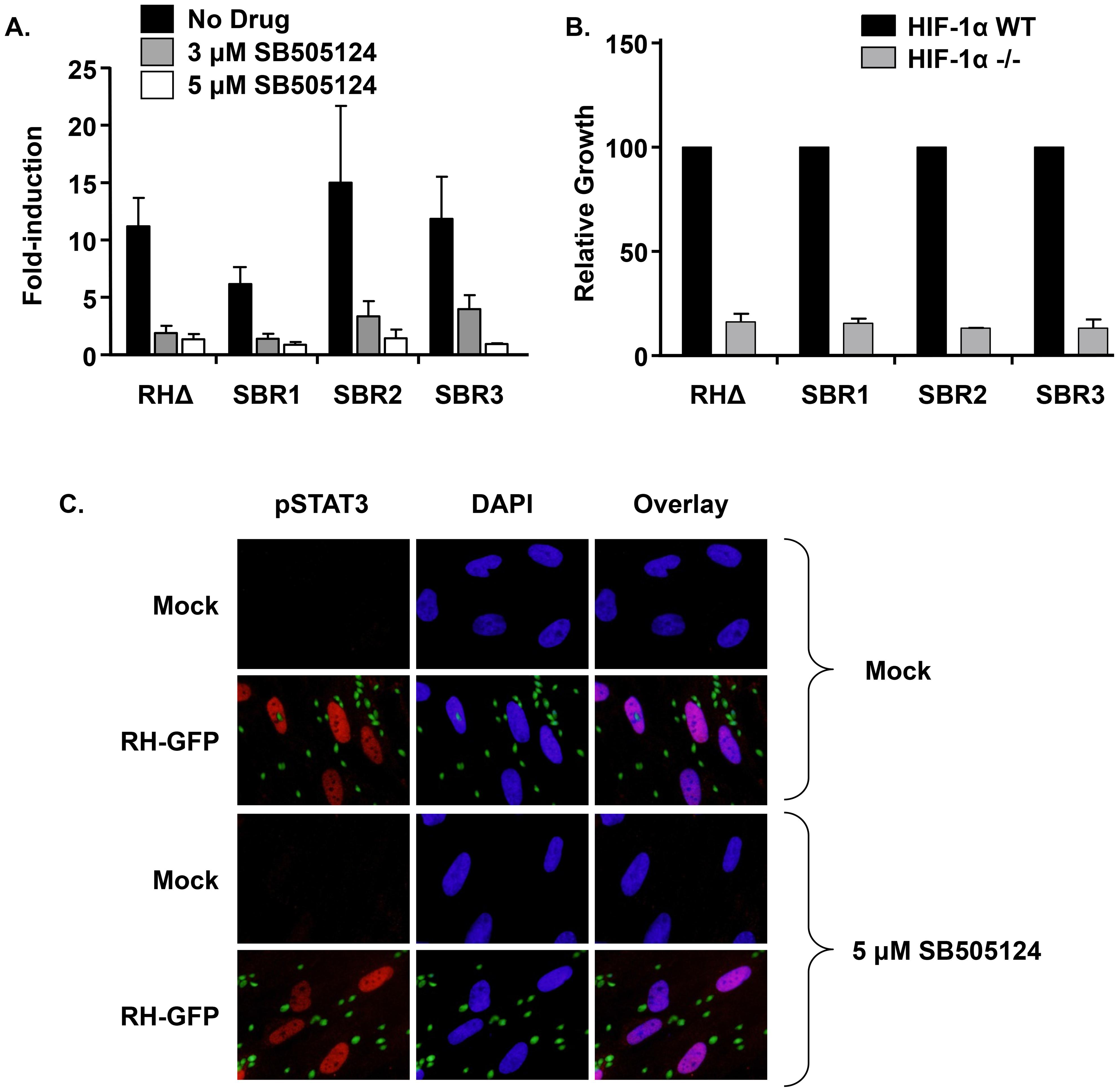 SB505124 impacts HIF1 and TgMAPK1 through distinct pathways.