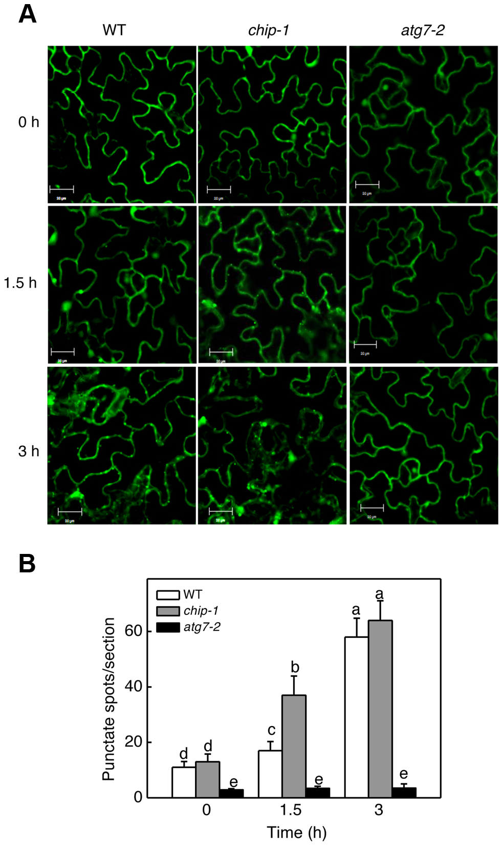 Determination of accumulation of autophagosomes using GFP-ATG8a.
