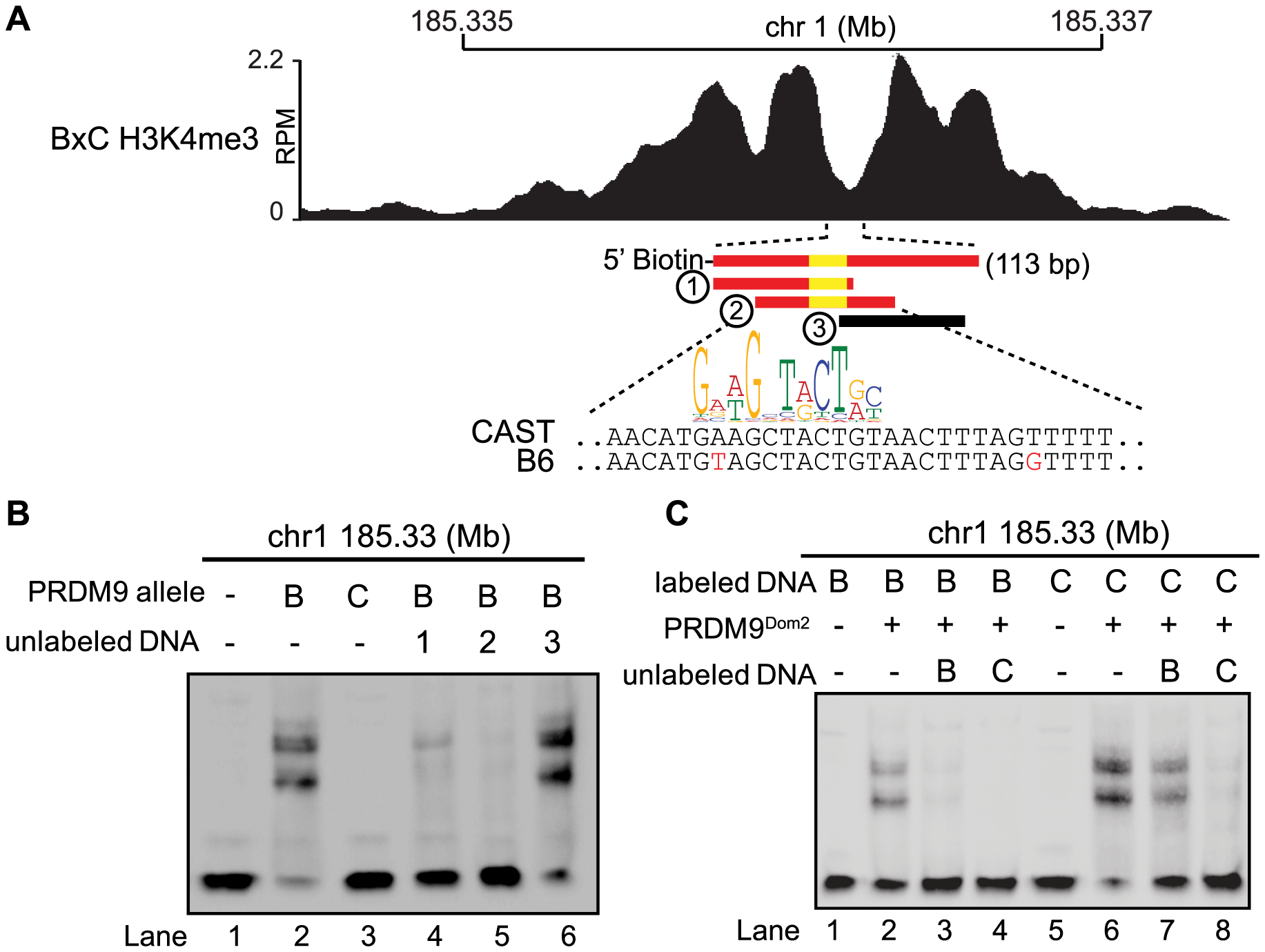 Hotspot haplotype influences PRDM9 binding.