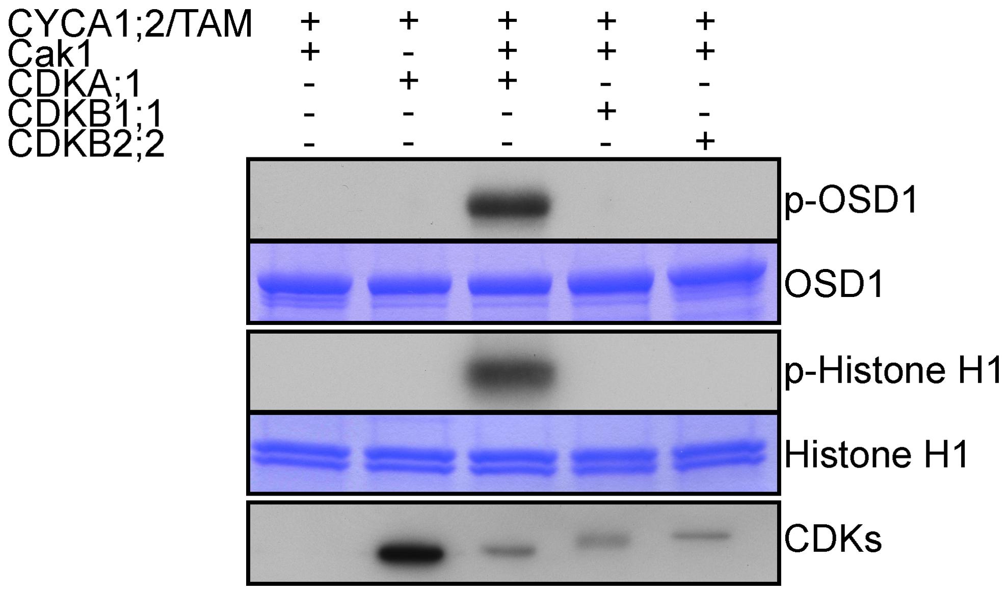 CDKA;1 is activated by CYCA1;2/TAM and phosphorylates OSD1 <i>in vitro</i>.