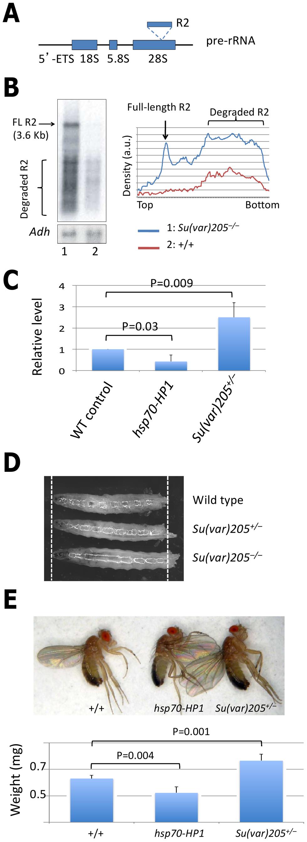 Heterochromatin controls rRNA transcription.