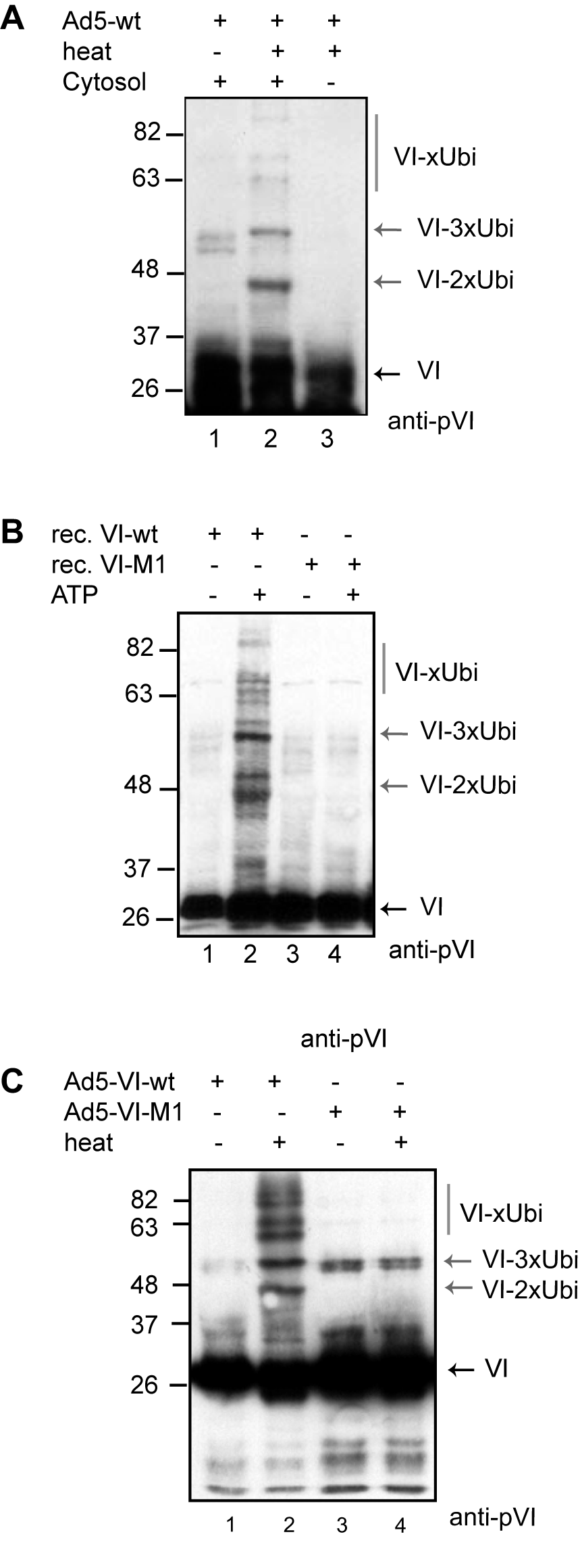 Protein VI is ubiquitylated following capsid disassembly.