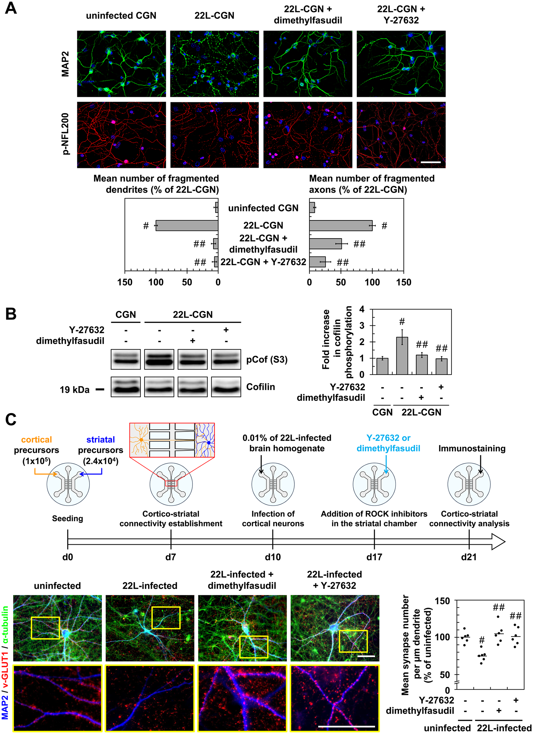 Inhibition of ROCK protects primary neuronal cultures from prion-induced synapse disconnection and neurite degradation.