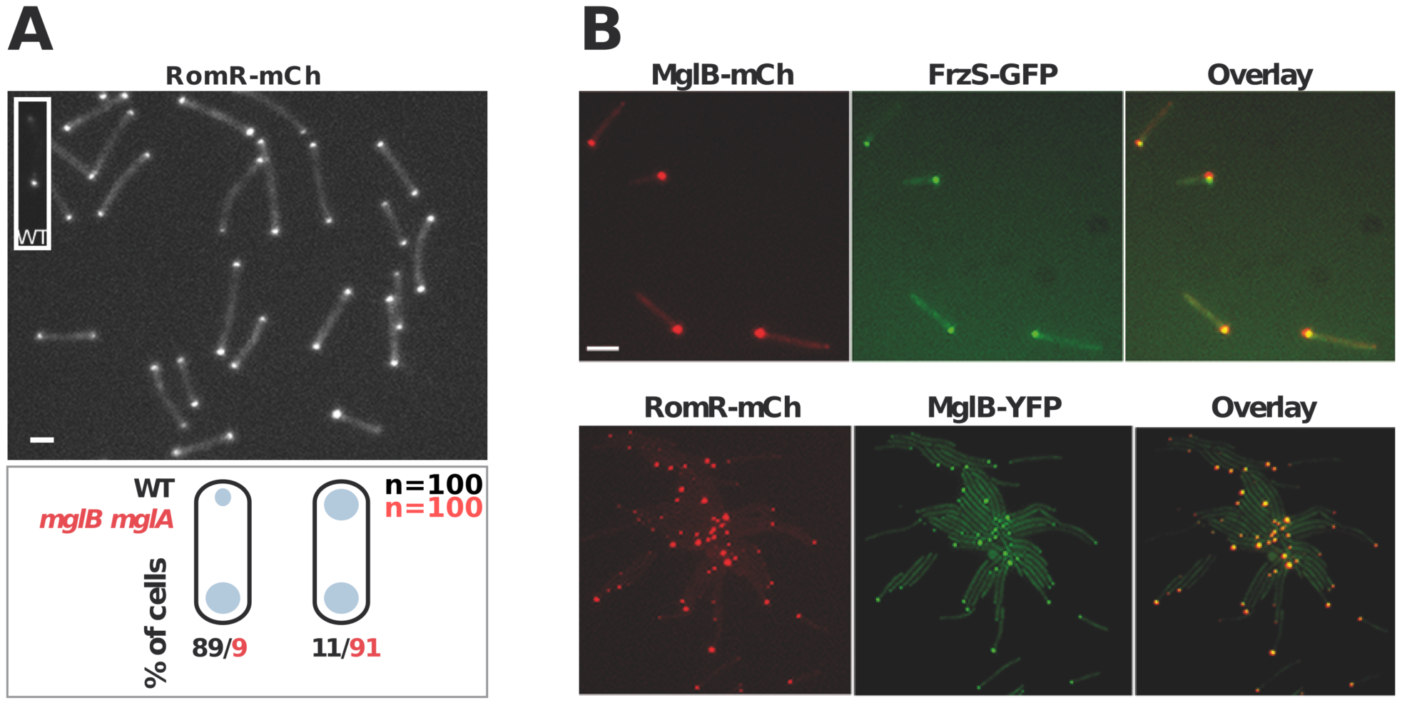 Polar localization of RomR is independent from MglAB but is regulated by MglB.