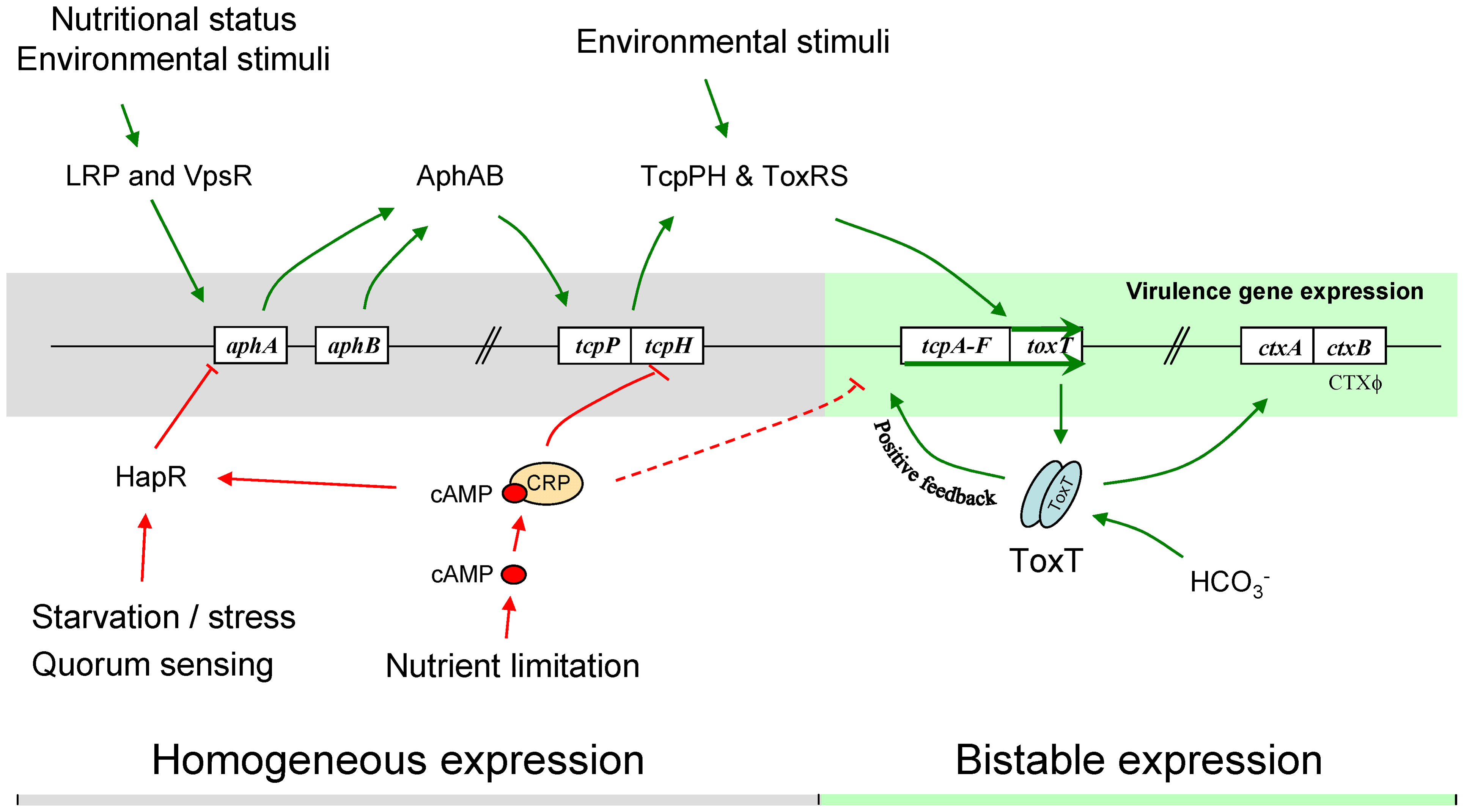 Model of the regulation of the <i>tcpA</i> bistable phenotype.