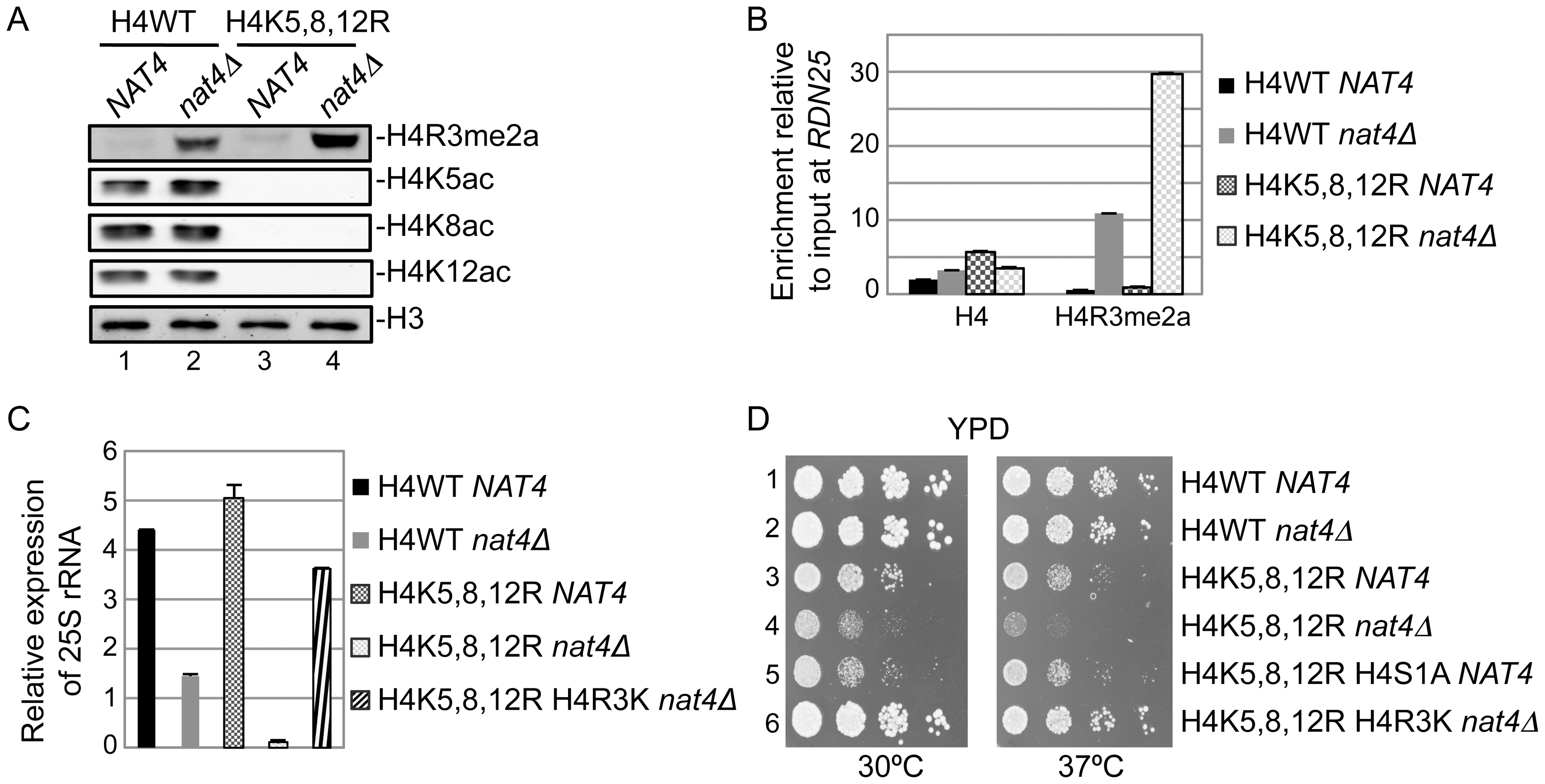 N-acH4 acts synergistically with H4K5, 8, 12 acetylation to control rDNA silencing, H4R3me2a and cell growth.