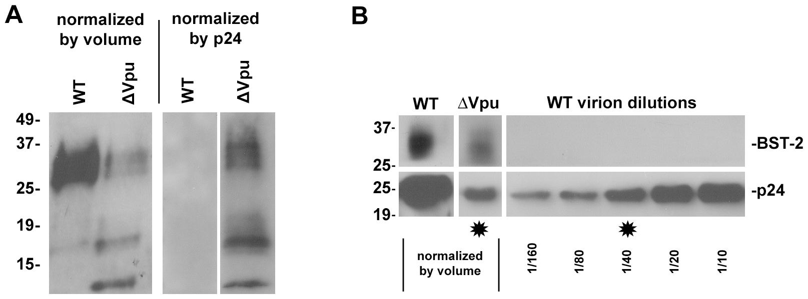 Virion-associated BST-2 detected by immunoblot.
