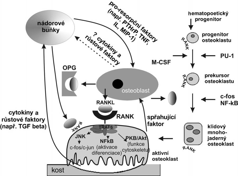 Interakce mezi osteoblasty, osteoklasty a nádorovými buňkami PTHrP – parathormone related peptide, TNF-α – tumor necrosis faktor alfa, MIP-1 – makrofágový zánětlivý protein 1 alfa, OPG – osteoprotegerin, RANK – receptor activating nuclear factor kappa B, RANKL – ligand pro RANKL, TGF-β – transformující růstový faktor beta