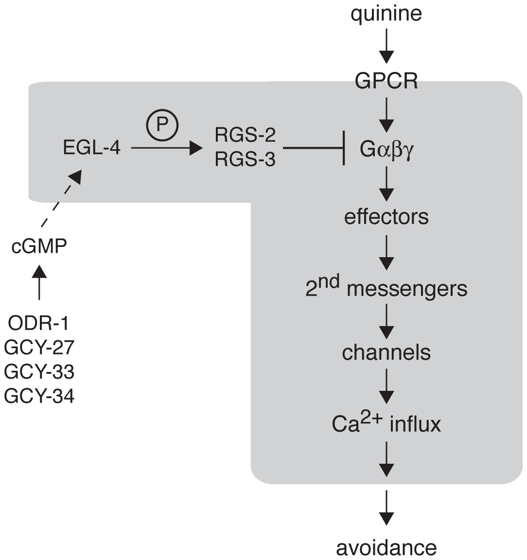 Model for EGL-4 regulation of nociceptive signaling.