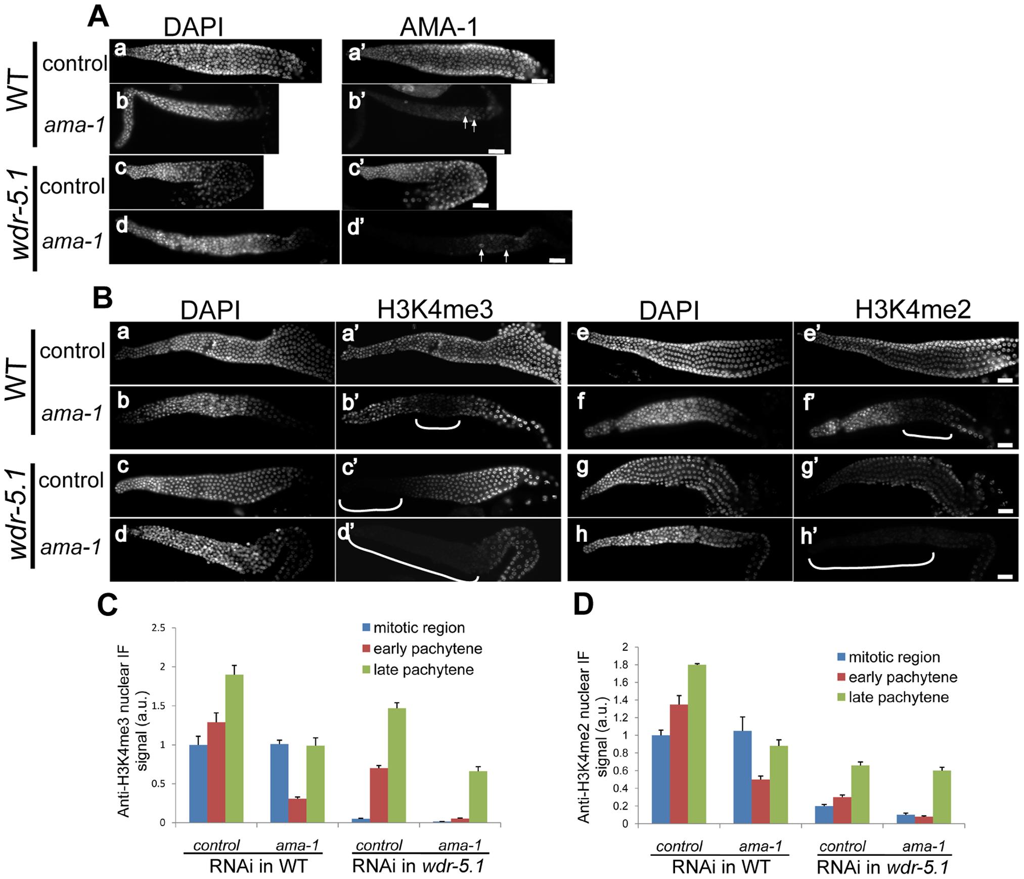 WDR-5.1–dependent H3K4 methylation in adult GSCs is unaffected by depletion of <i>ama-1</i>.