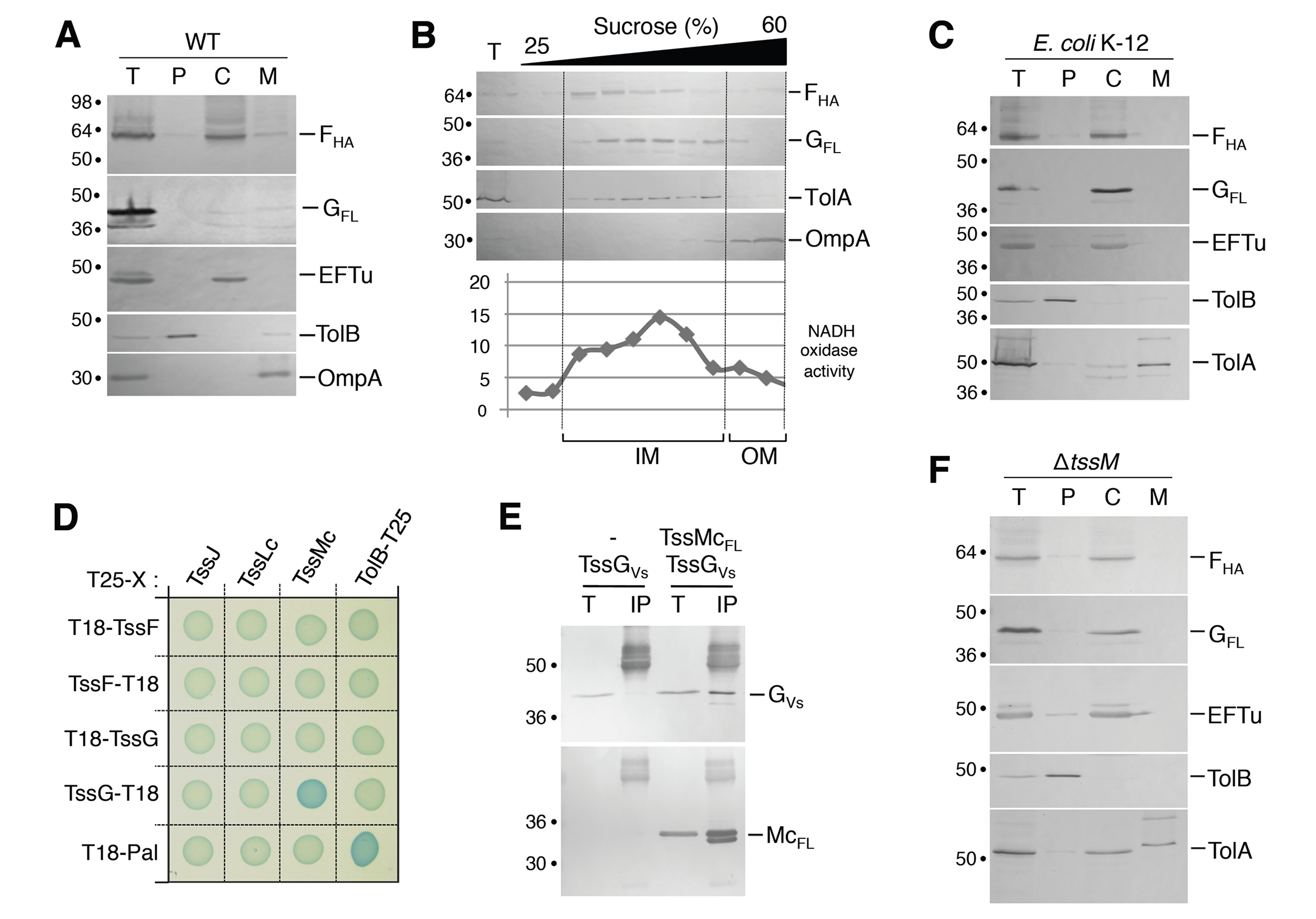 TssF and TssG are soluble proteins that associate with the IM via contacts between TssG and the cytoplasmic loop of TssM.