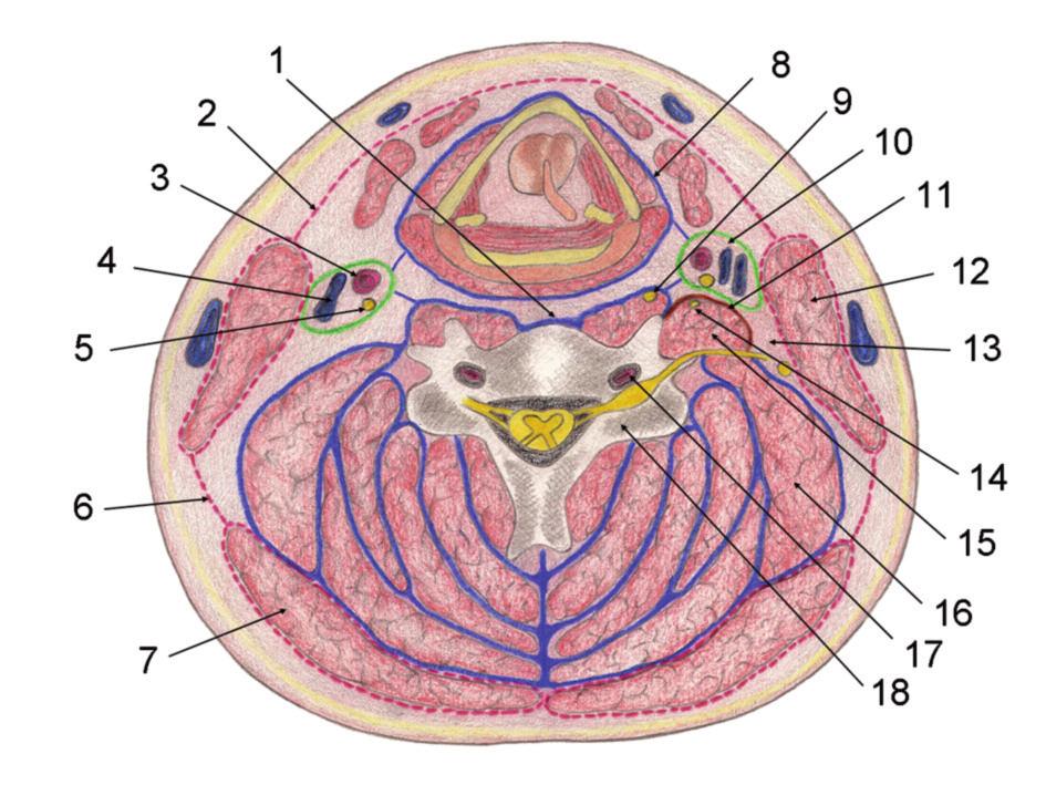 Schematický řez krkem [4] Vysvětlivky: 1 – zadní hluboká krční fascie, přední část; 2 – střední krční fascie, přední část; 3 – krční tepna; 4 – vnitřní jugulární žíla; 5 – bloudivý nerv; 6 – střední krční fascie, zadní část; 7 – trapézový sval; 8 – hluboká přední (viscerální) fascie; 9 – střední krční sympatické ganglion; 10 – alární fascie; 11 – skalenická fascie; 12 – kývač ; 13 – mezifasciální prostor; 14 – brániční nerv; 15 – skalenické svaly; 16 – zdvihač lopatky; 17 – obratlová tepna; 18 – tělo obratle.