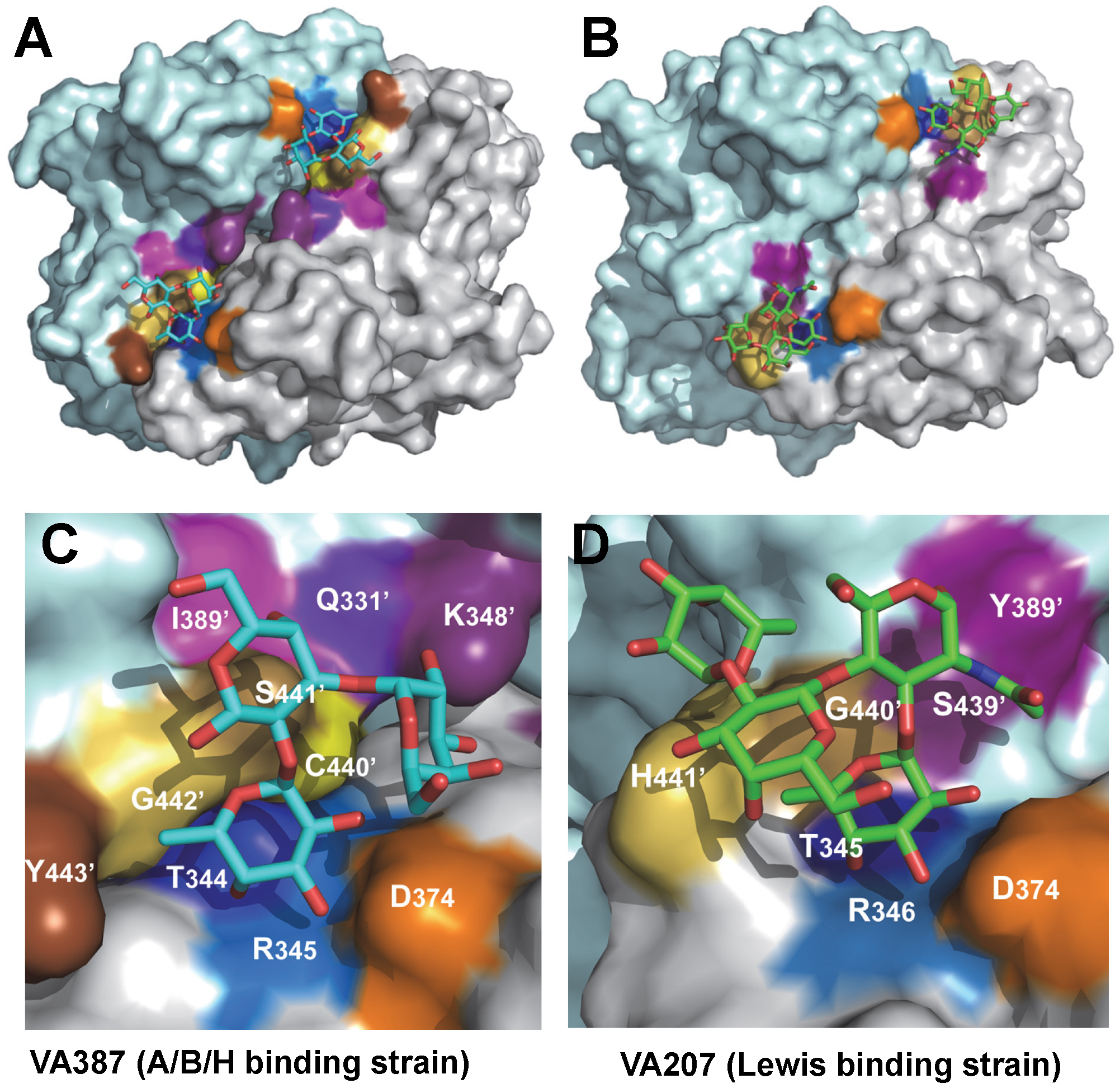 The crystal structures of the HBGA-binding interfaces of VA387 (GII.4) and VA207 (GII.9).