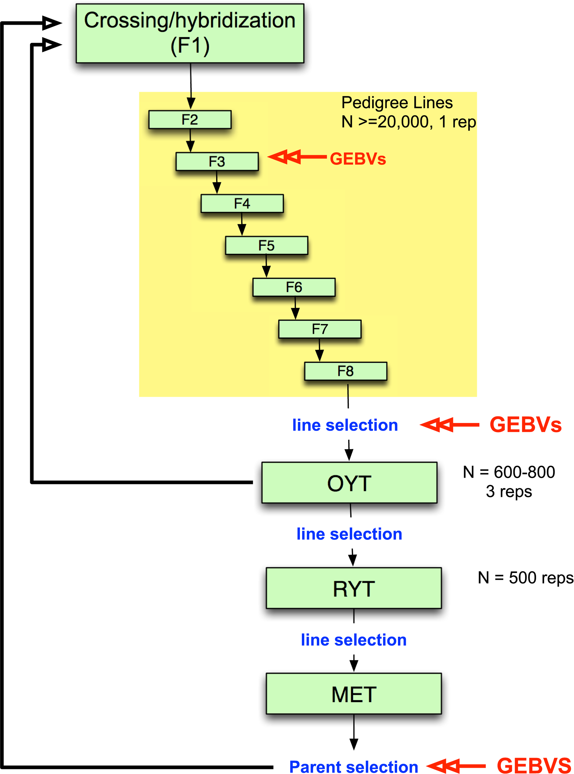 Example of irrigated rice breeding pipeline that incorporates genomic selection.