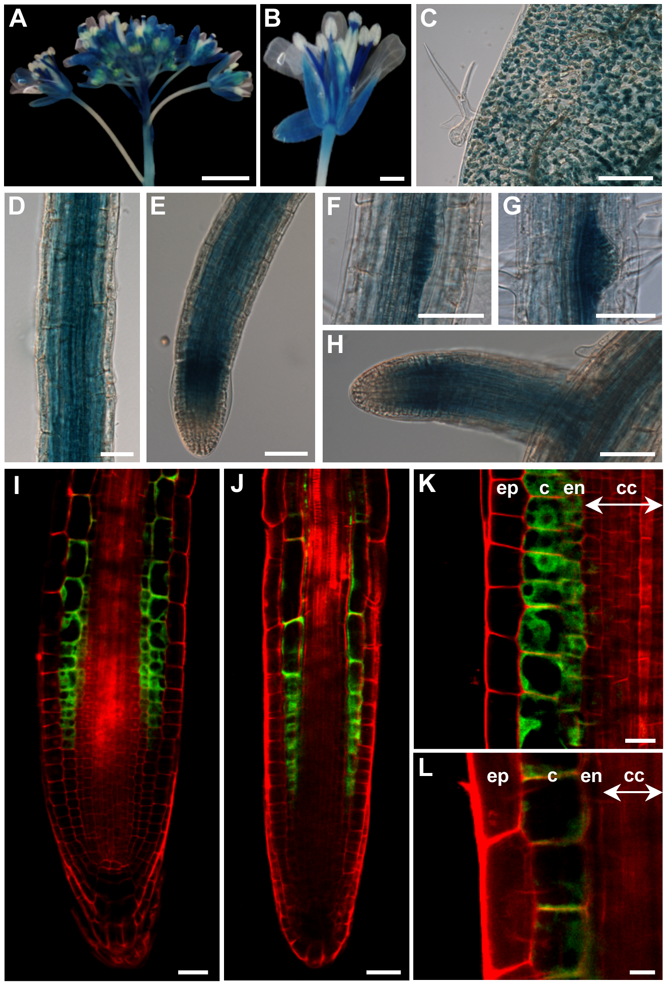 The <i>ZIF2</i> promoter is active in most <i>Arabidopsis</i> tissues.