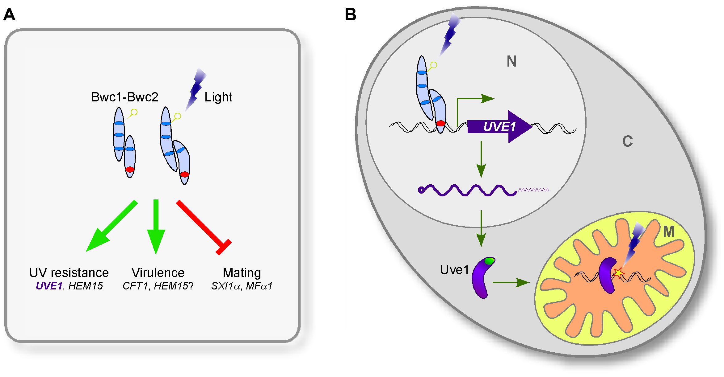 The involvement of Uve1 in the photosensory response of <i>C. neoformans</i>.