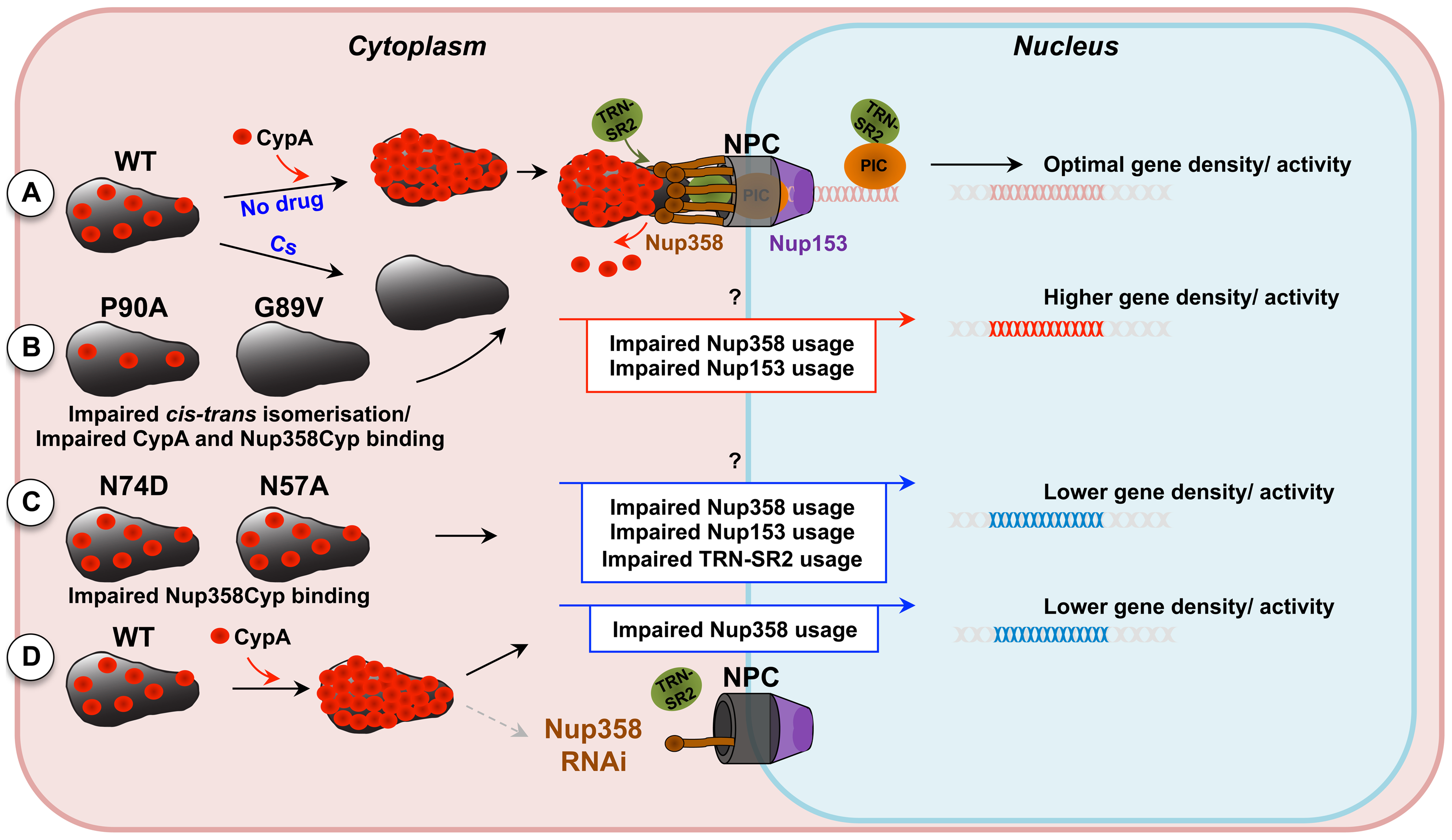 Model for CypA-dependent/-independent HIV-1 nuclear entry pathways.