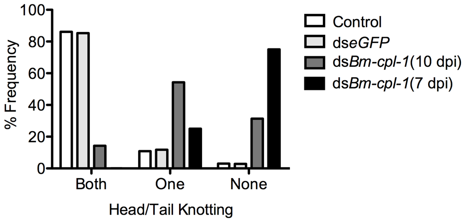 Disrupted motile phenotypes of dsRNA <i>Bm-cpl-1</i>-exposed <i>B. malayi</i>.