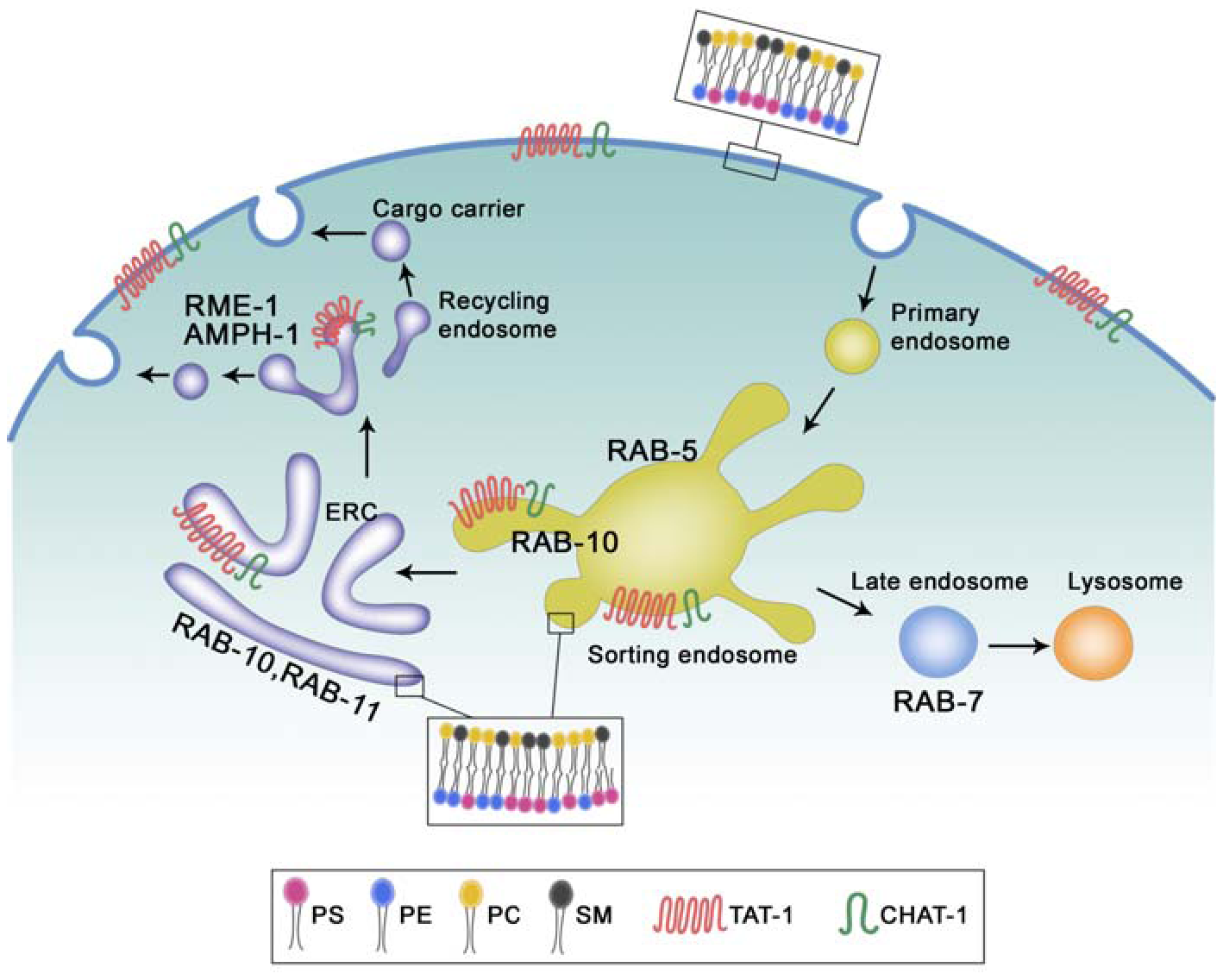 Proposed functions of TAT-1/CHAT-1 in endocytic sorting and recycling.