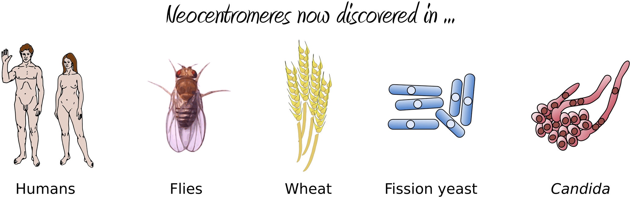 Organisms in which neocentromere formation has been reported.