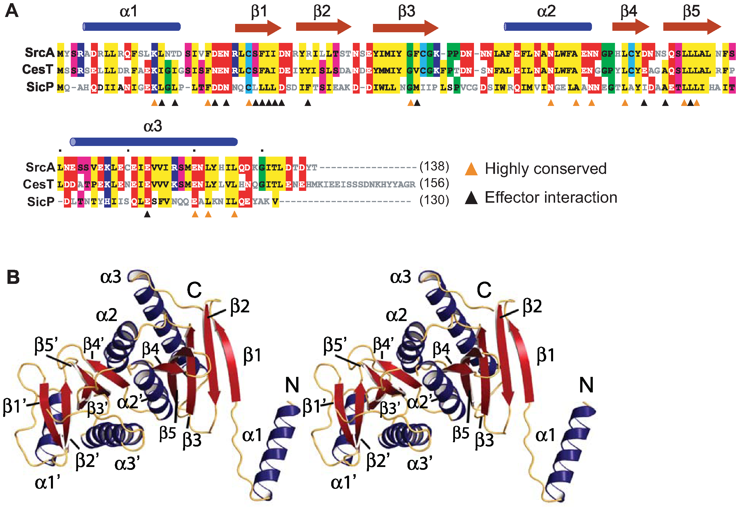 Structural characterization of SrcA.