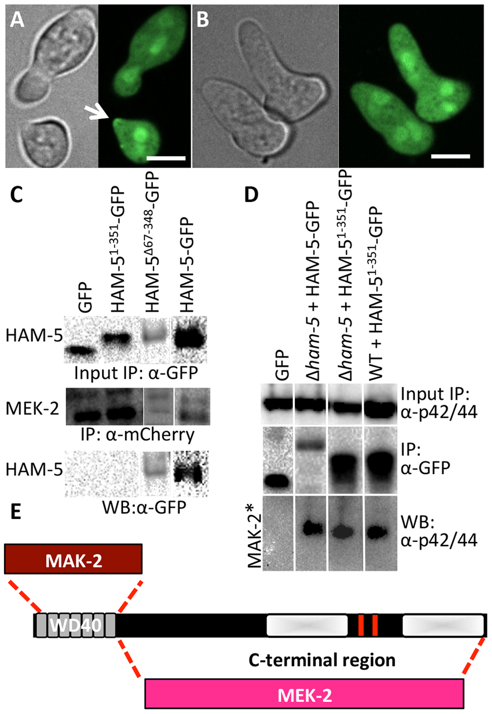The WD40 domain of HAM-5 interacts with MAK-2, while the C-terminus interacts with MEK-2.