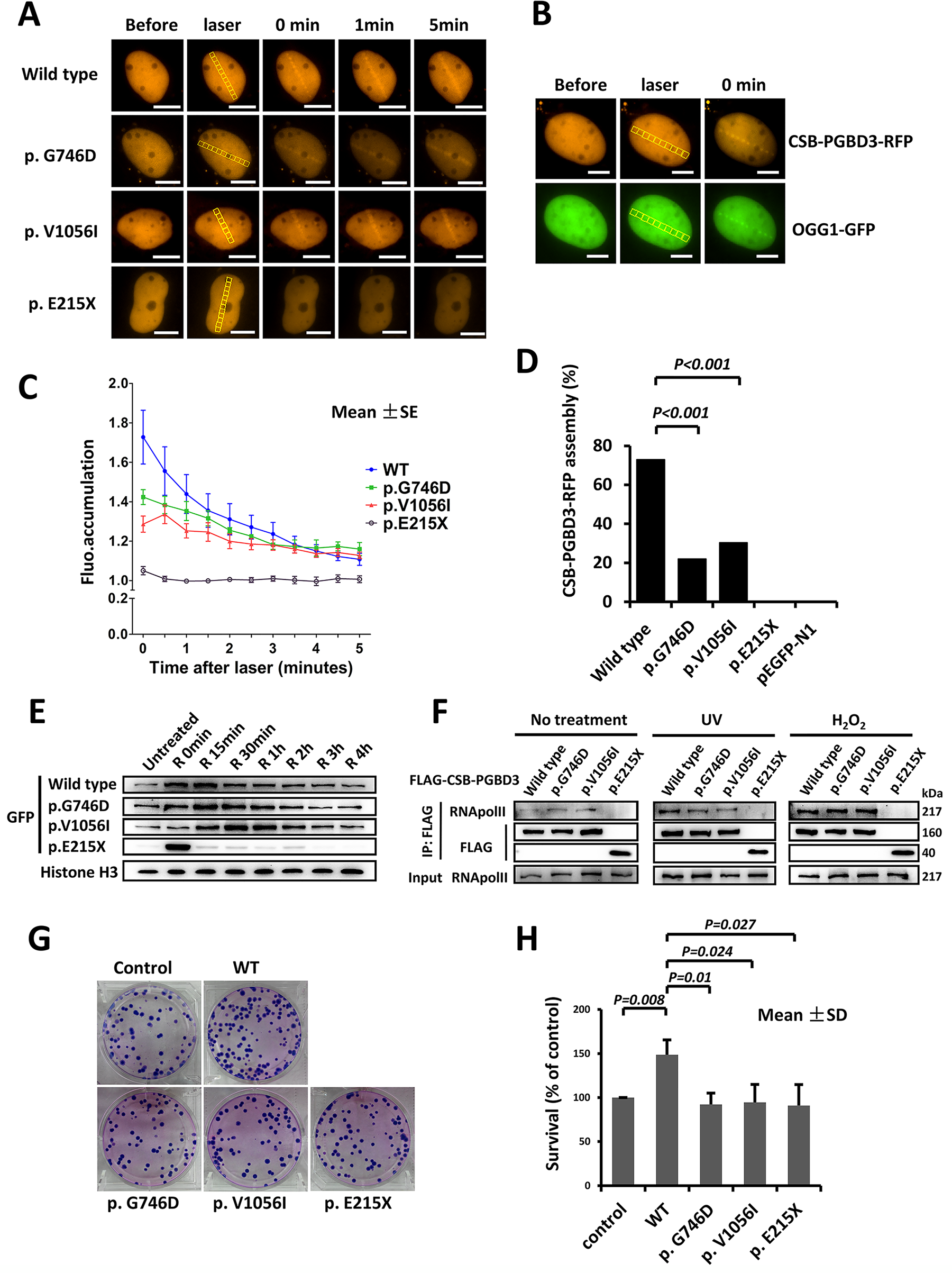 Delayed recruitment of CSB-PGBD3 mutants at DNA lesion.