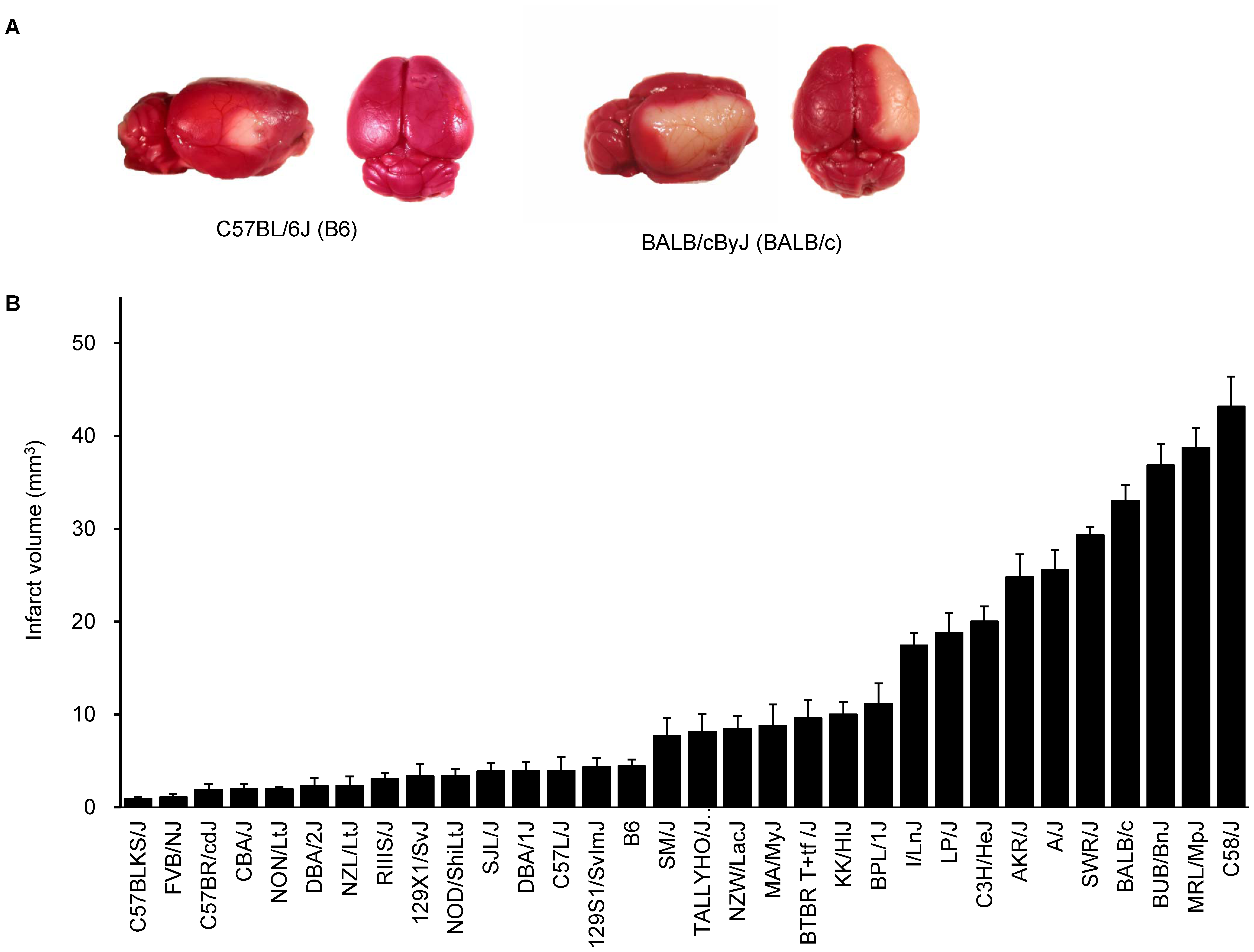 Wide phenotypic variation in infarct volume in 32 inbred mouse strains.