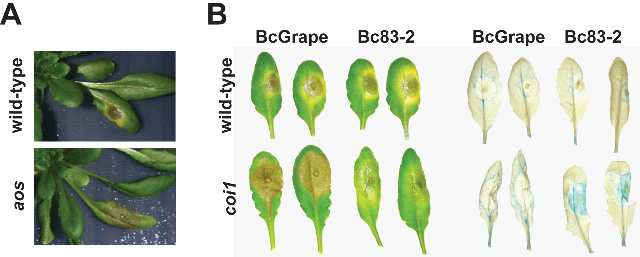 <i>A. thaliana</i> leaves showing necrotic lesions formed by <i>B. cinerea</i> infection at 72hpi.