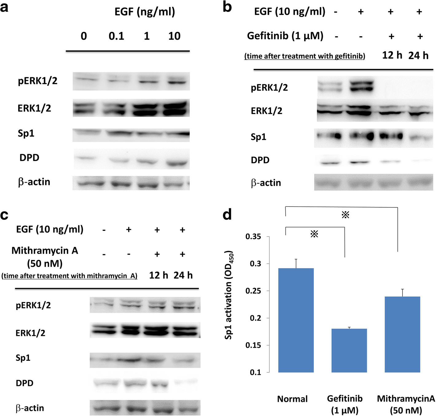 a PC9 cells were incubated with various concentrations of EGF, and whole cell lysates were extracted and were examined by immunoblot analysis. b, c. Effects of gefitinib and mithramycin A on ERK, Sp1, and DPD in immunoblot analysis. PC9 cells were pretreated with gefitinib (1 μM) or mithramycin A (50 nM) before administration of 10 ng/ml EGF. After treatment, whole cell lysates were extracted and examined by western blotting. Results are representative of two independent experiments. d PC9 cells were stimulated with inhibitors, and nuclear extracts were prepared to detect the Sp1/DNA interaction by a Trans AM Sp1 kit. The experiment was performed in triplicate. *, <i>p</i>-value < 0.05