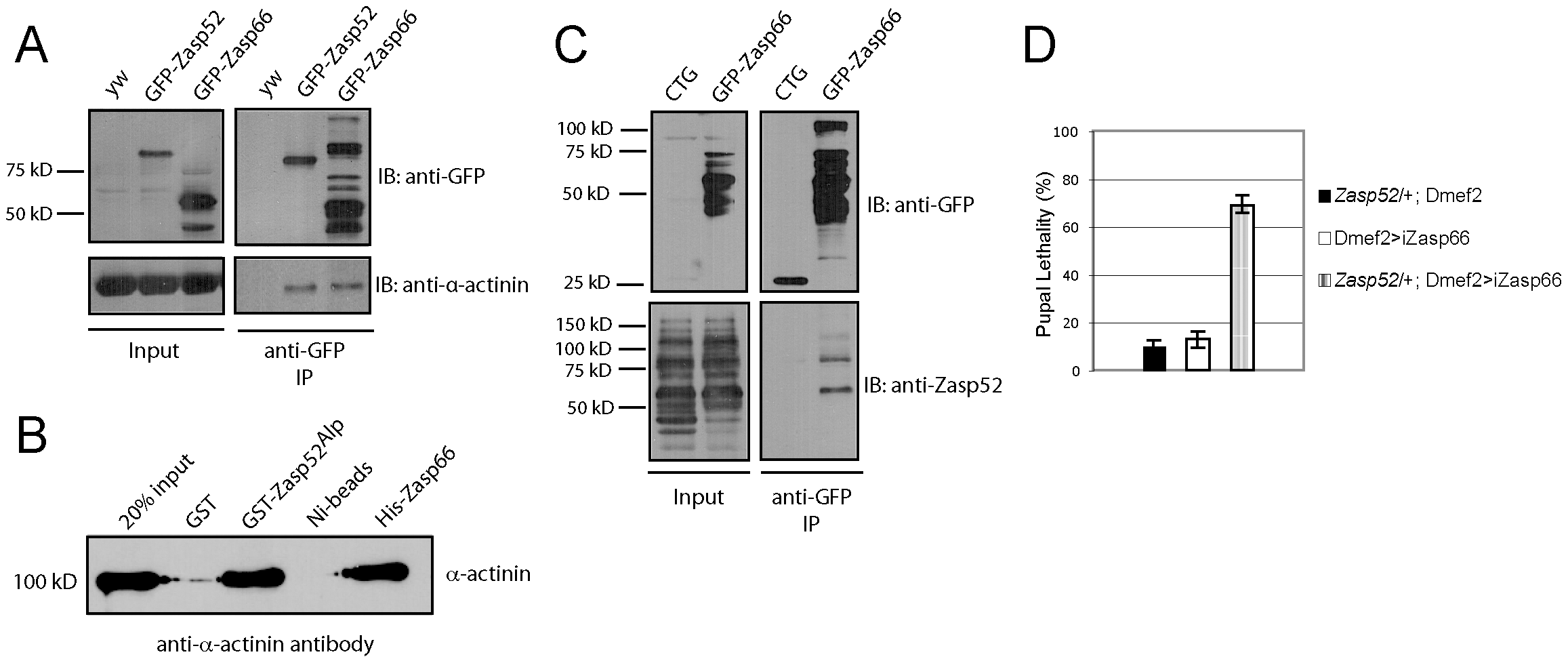 Zasp52 and Zasp66 both bind α-actinin and genetically interact.