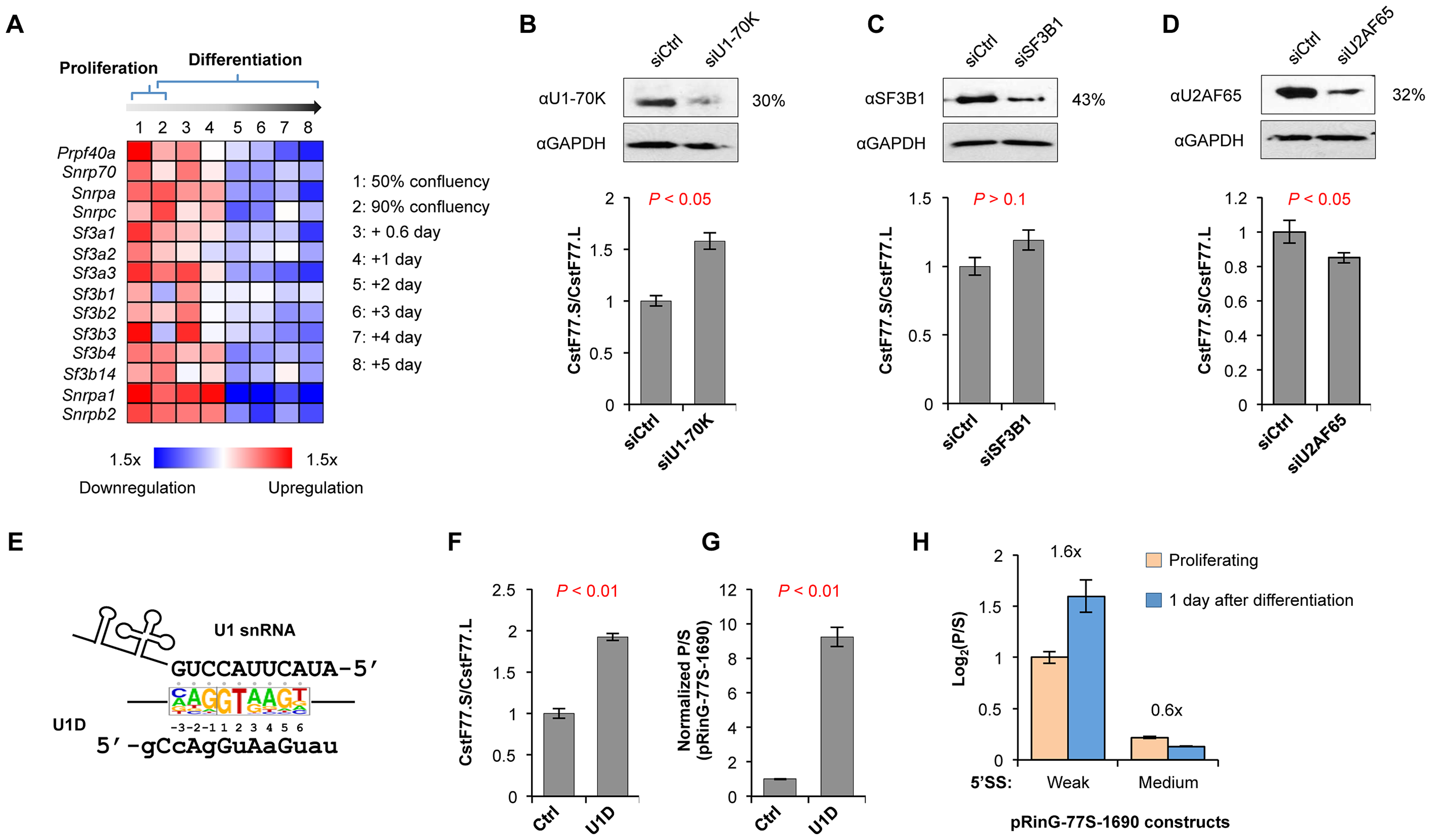 U1 snRNP regulates the usage of intronic pA of CstF-77 gene.