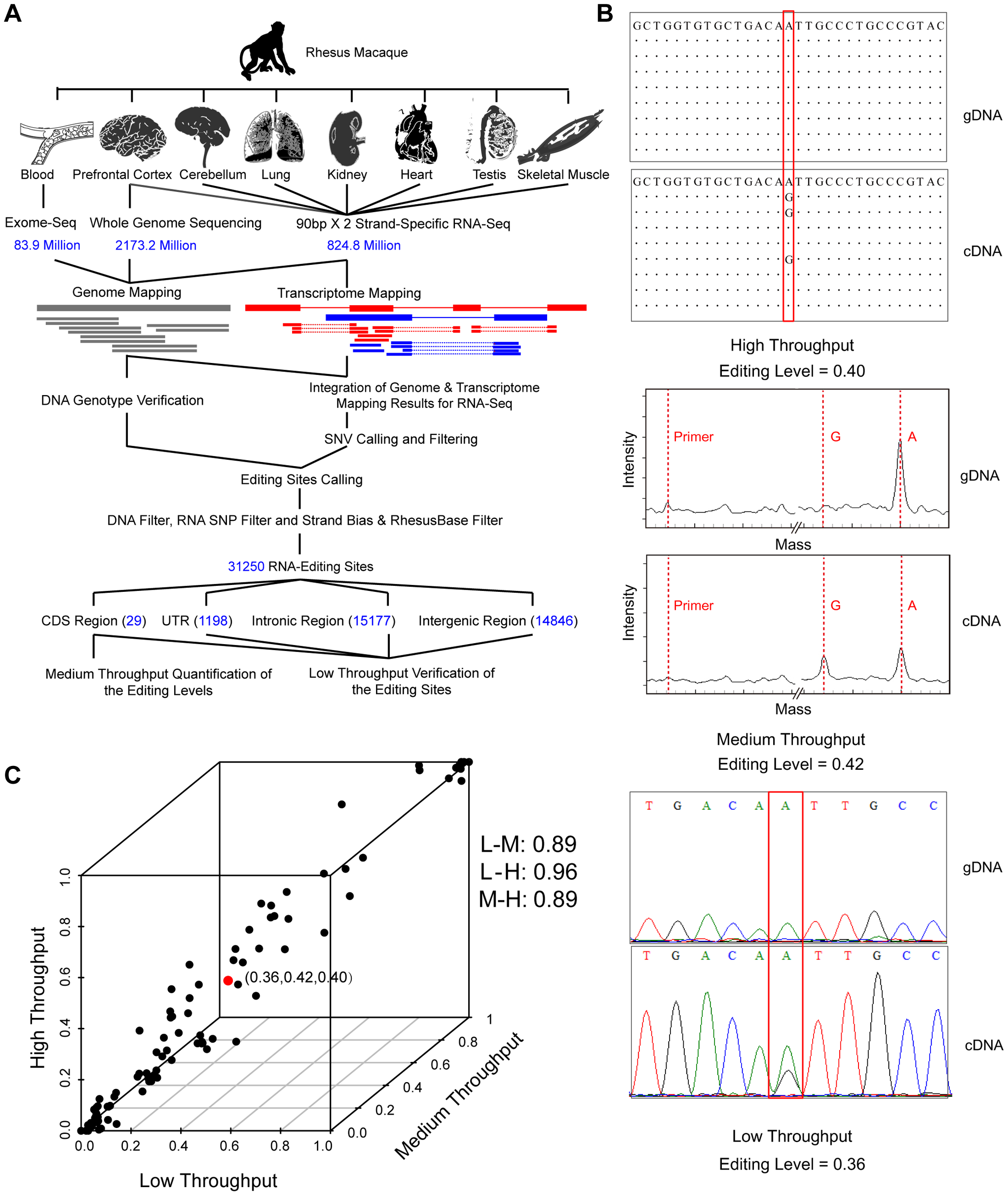 Genome-wide identification and verification of RNA editome in one rhesus macaque.