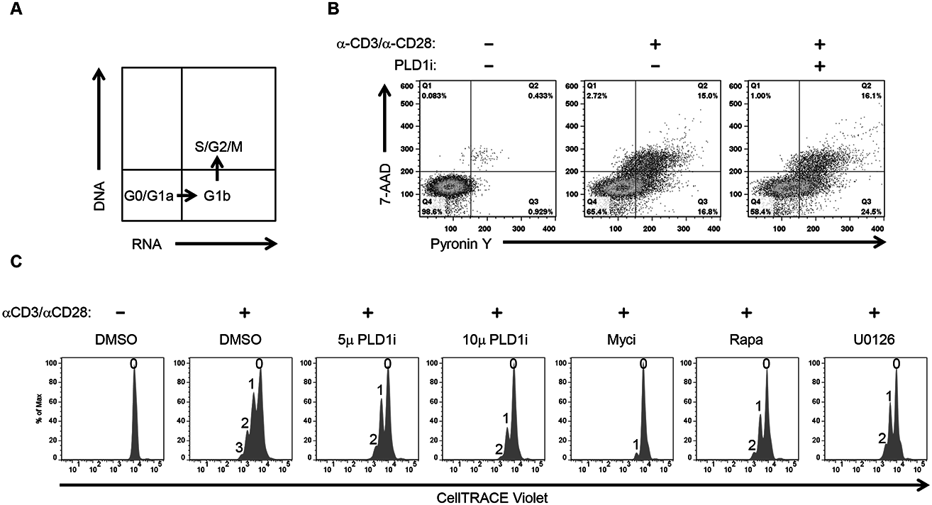 Inhibition of PLD1 activity limits proliferation of activated CD4+ T cells.