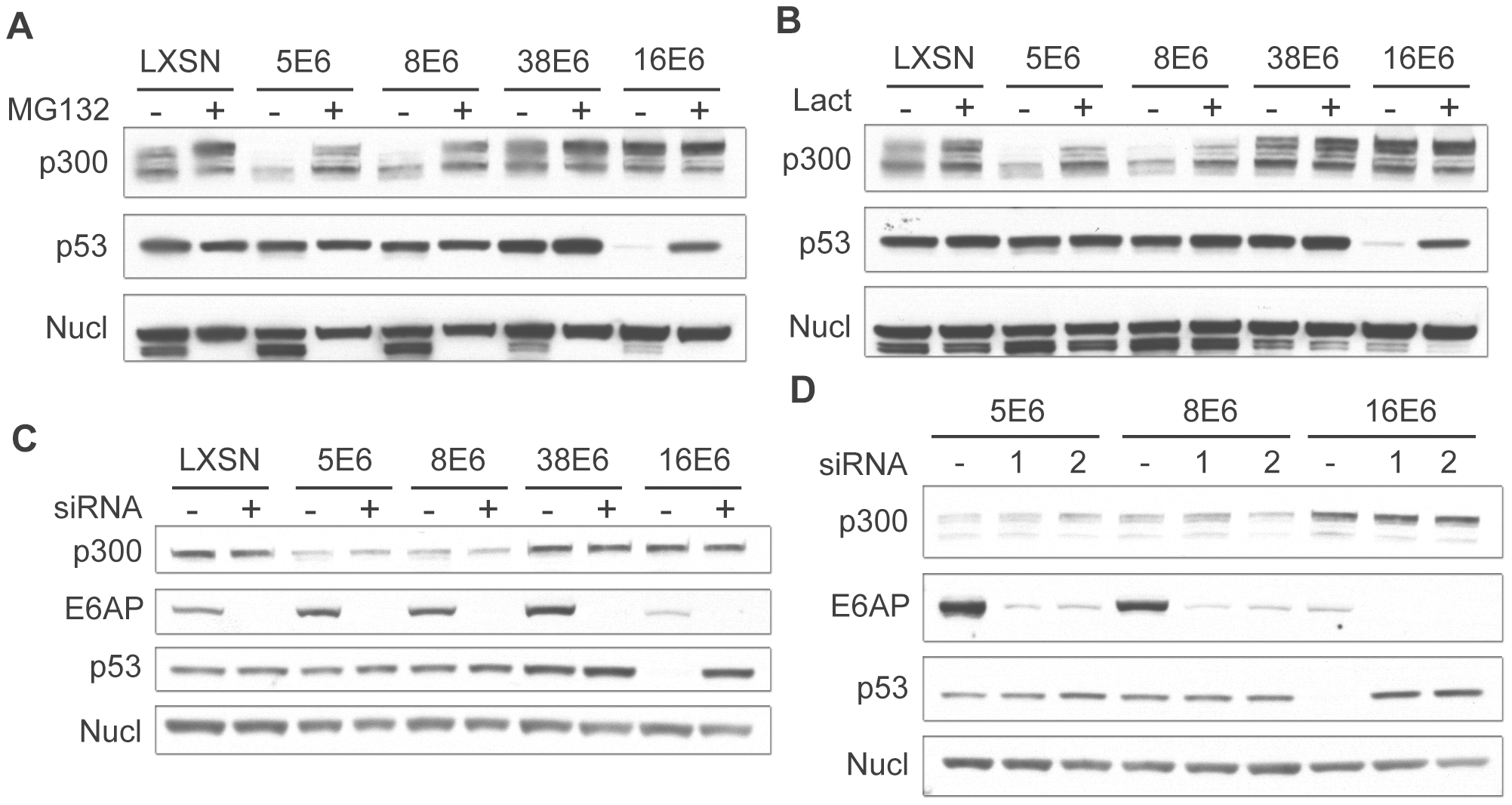 β HPV 5 and 8E6 degrade p300 in a proteasomal-dependent, E6AP-independent manner.