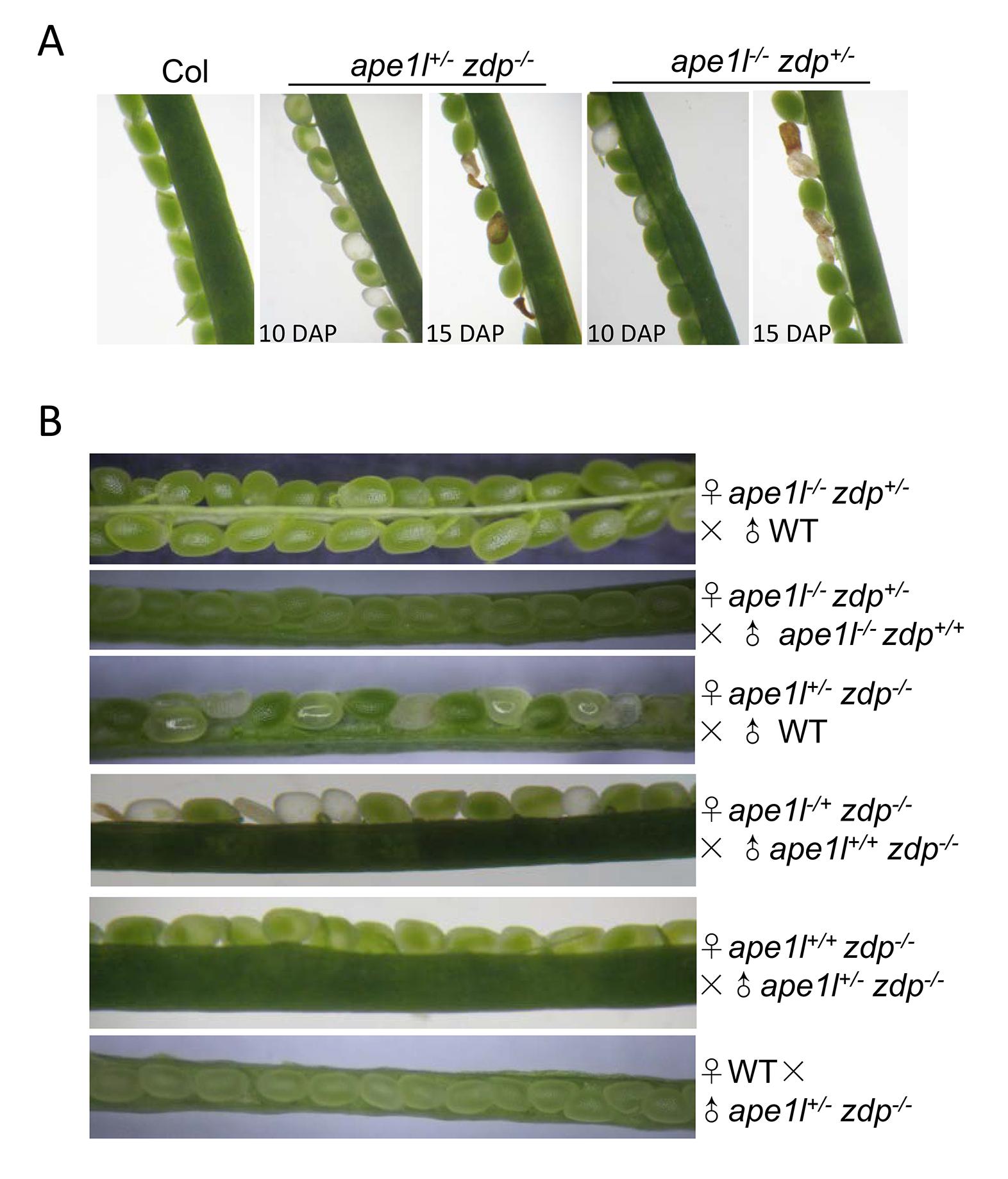 Effects of <i>ape1l</i> and <i>zdp</i> double mutations on seed development.