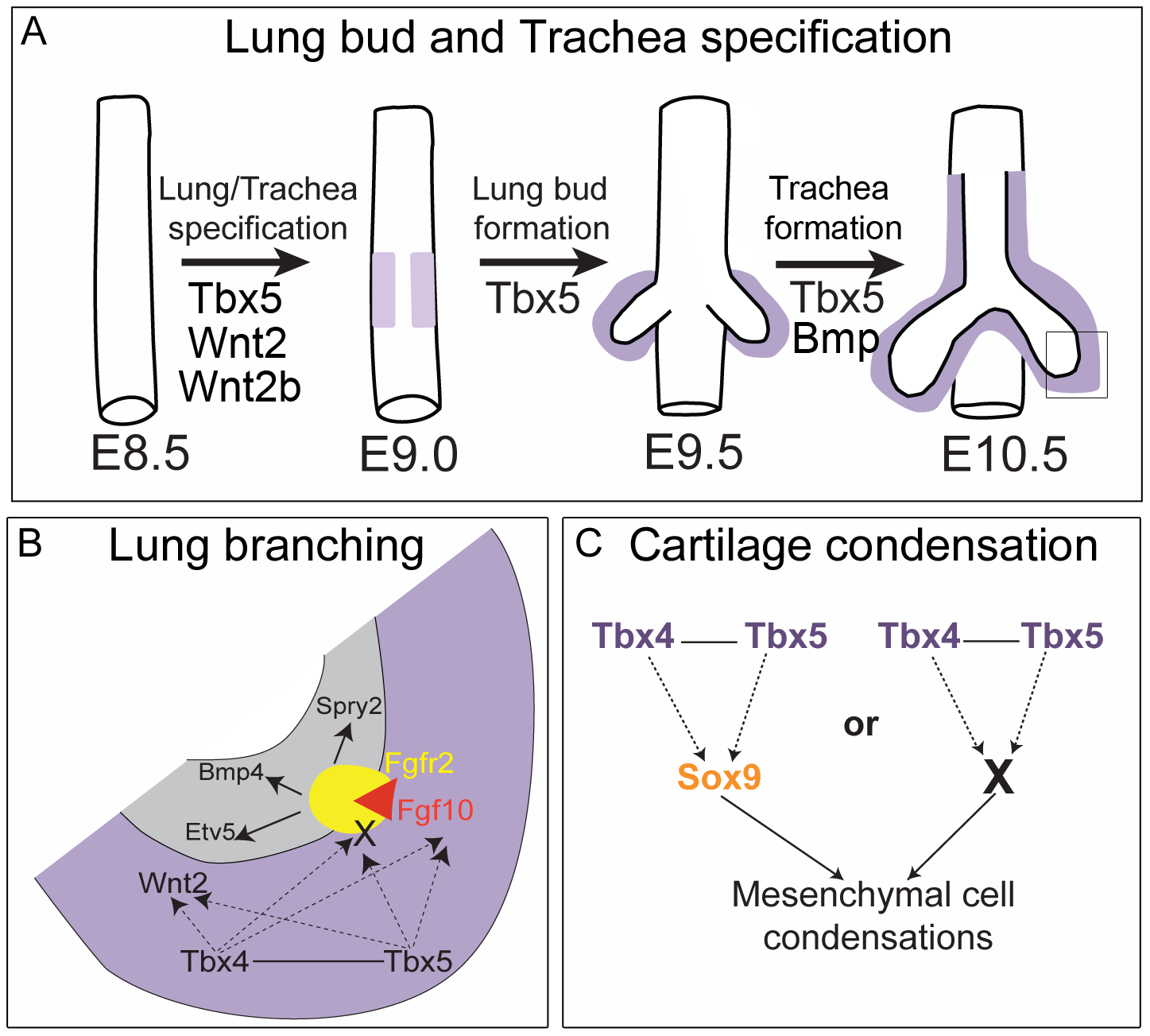 Model for the role of <i>Tbx4</i> and <i>Tbx5</i> in lung and trachea development.