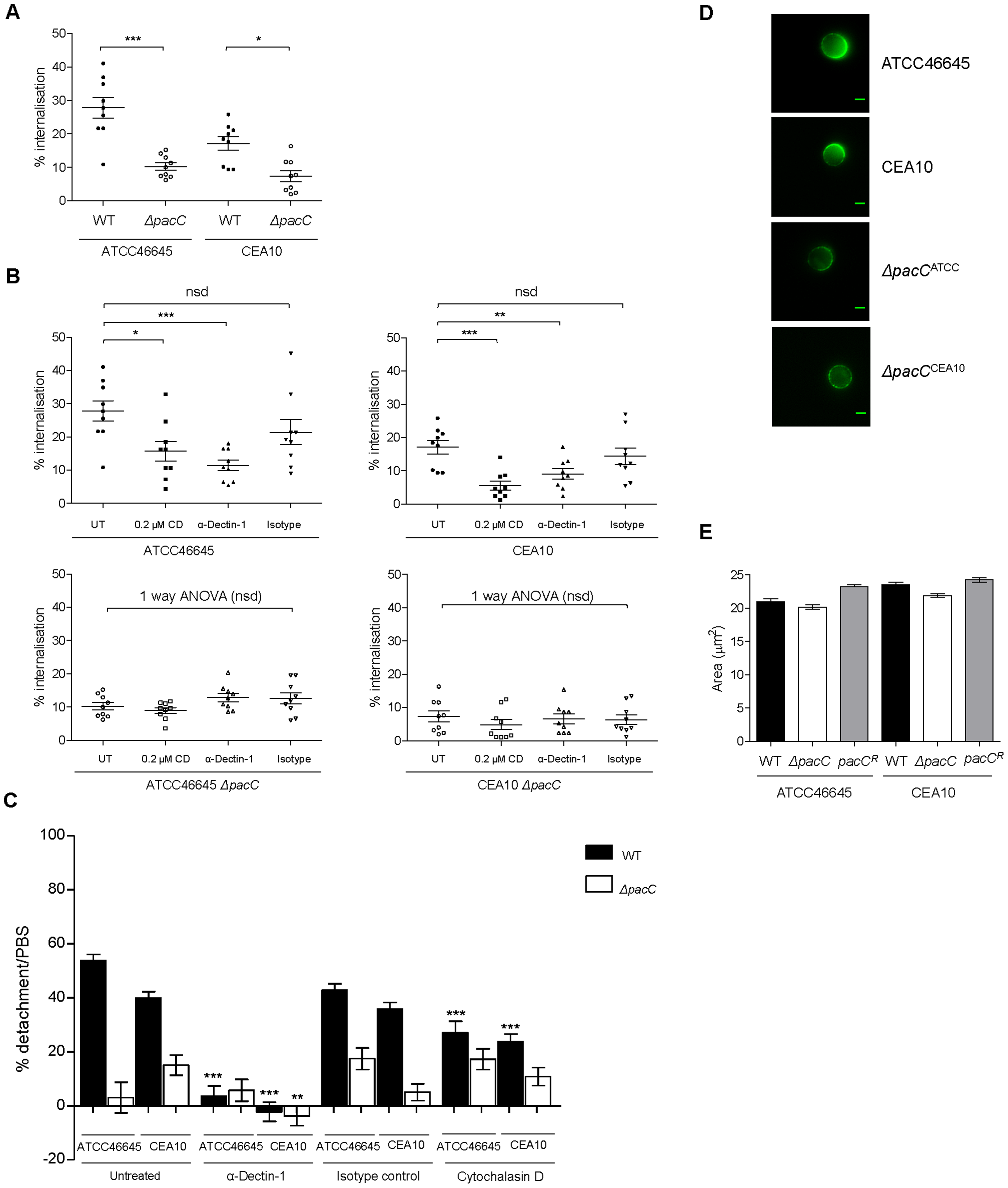 <i>ΔpacC</i> mutants are less avidly internalised by A549 and spore internalisation depends on Dectin-1.