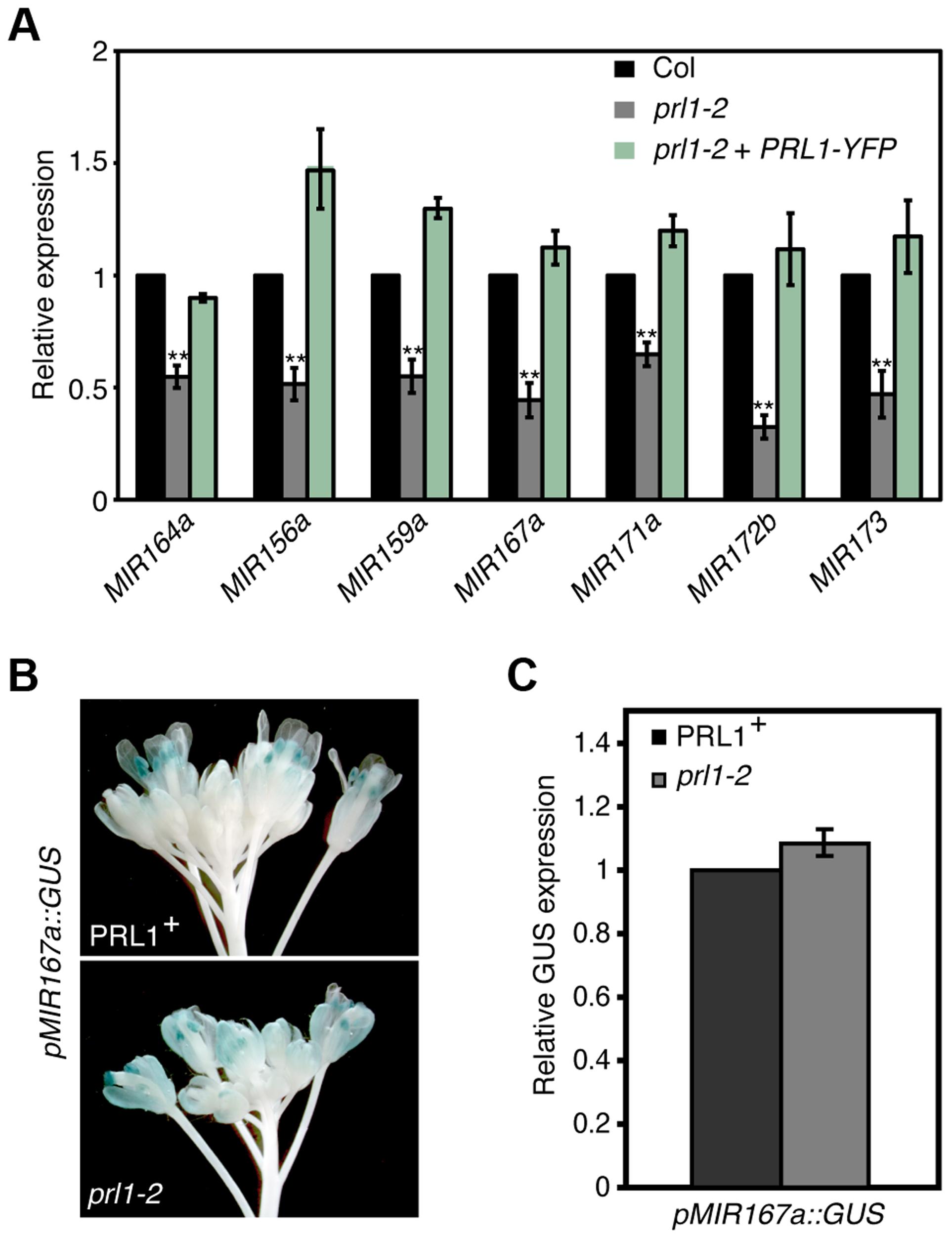 PRL1 positively influences pri-miRNA levels.