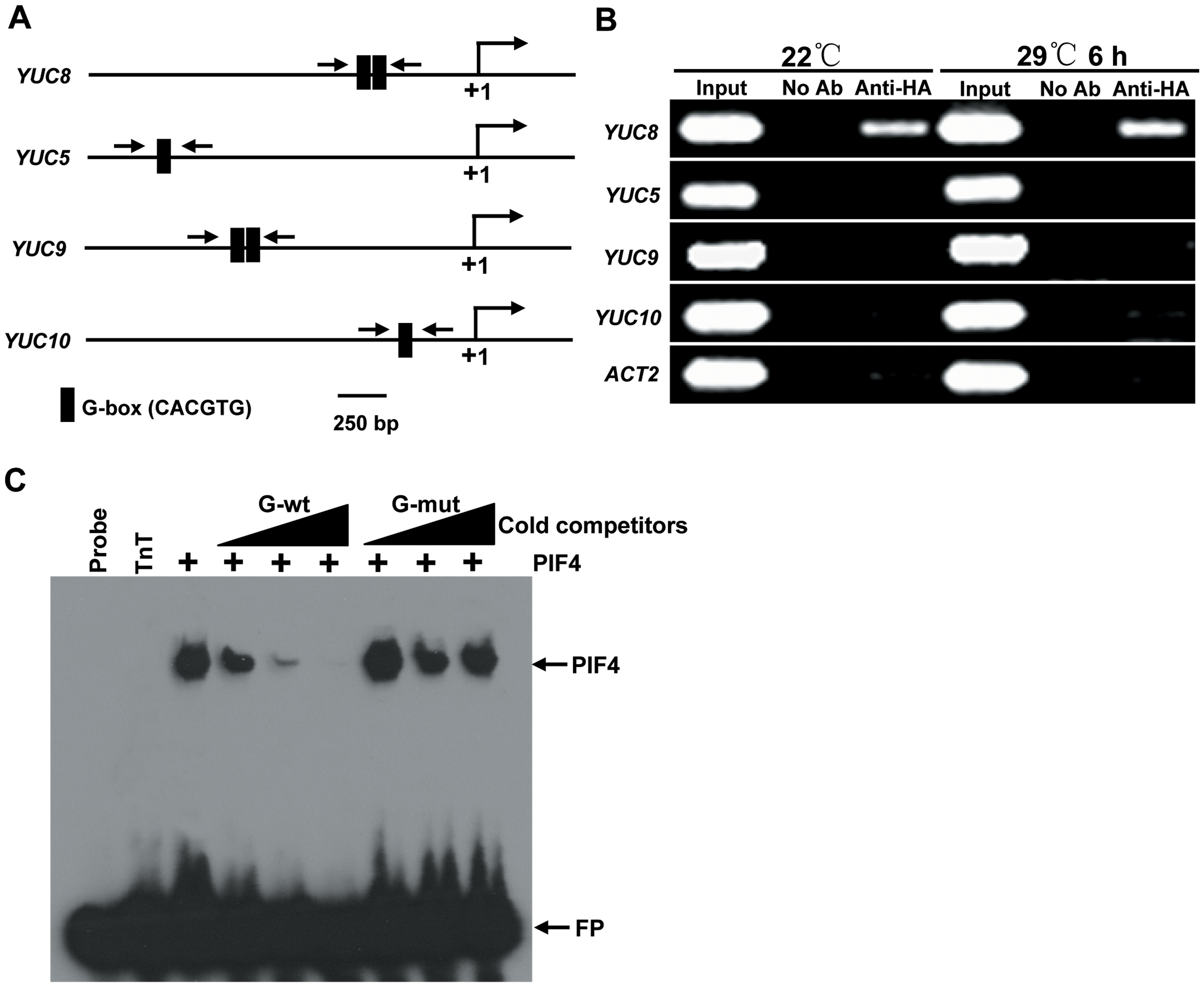 PIF4 Directly Binds to the Promoter Region of <i>YUC8</i>.
