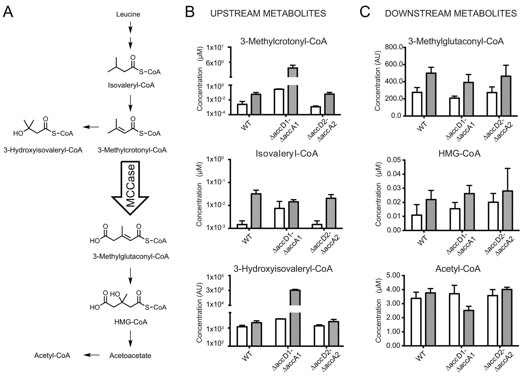 Metabolite analysis upstream and downstream of 3-methylcrotonyl-CoA.