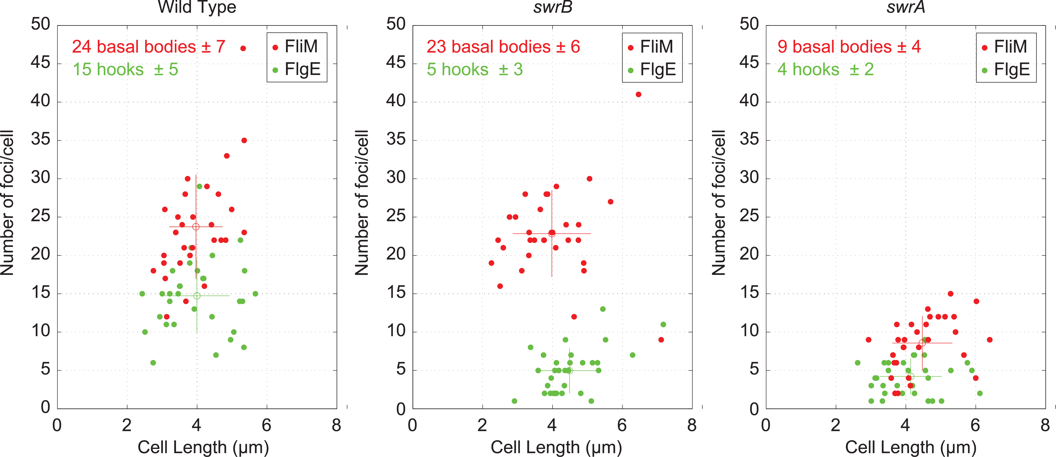 Cytological quantification of flagellar hooks and basal bodies.
