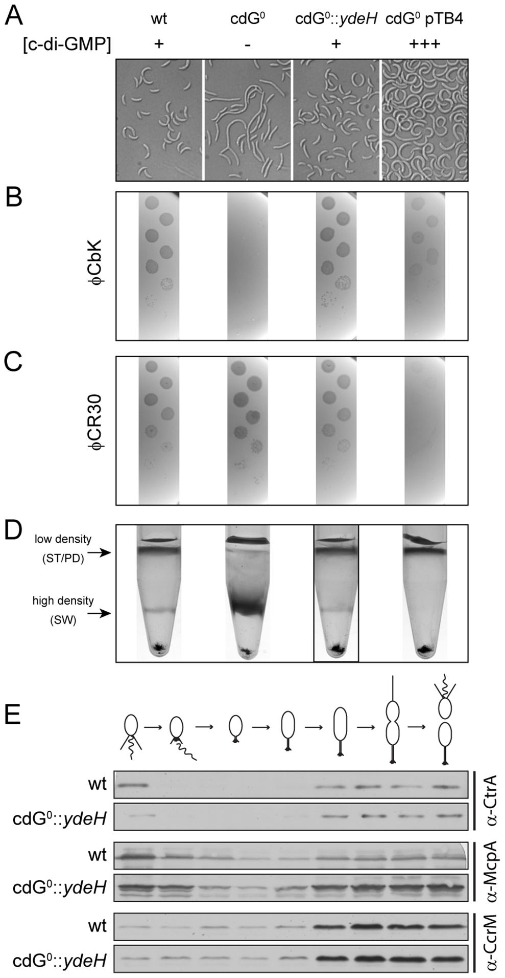 <i>In vivo</i> dose-response curves for c-di-GMP dependent processes.