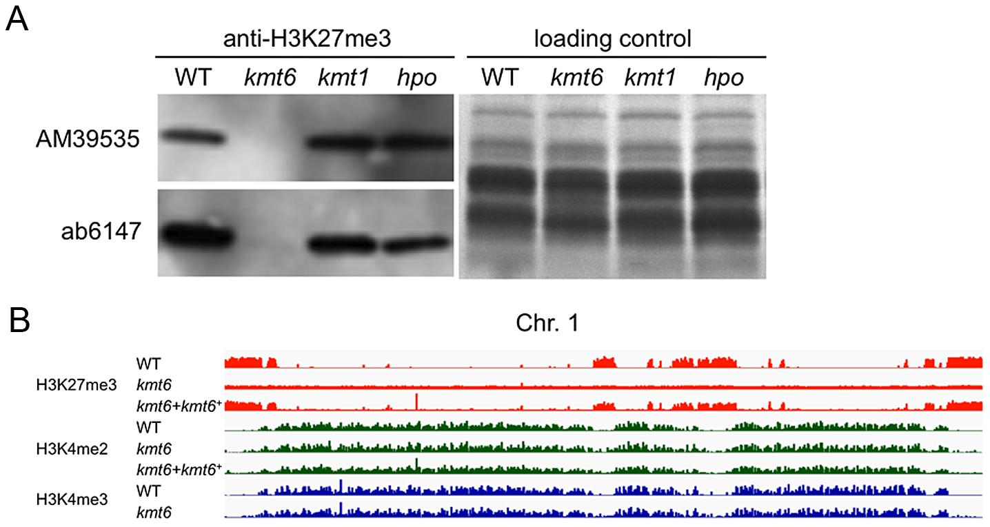The <i>kmt6</i> mutant lacks H3K27me3.