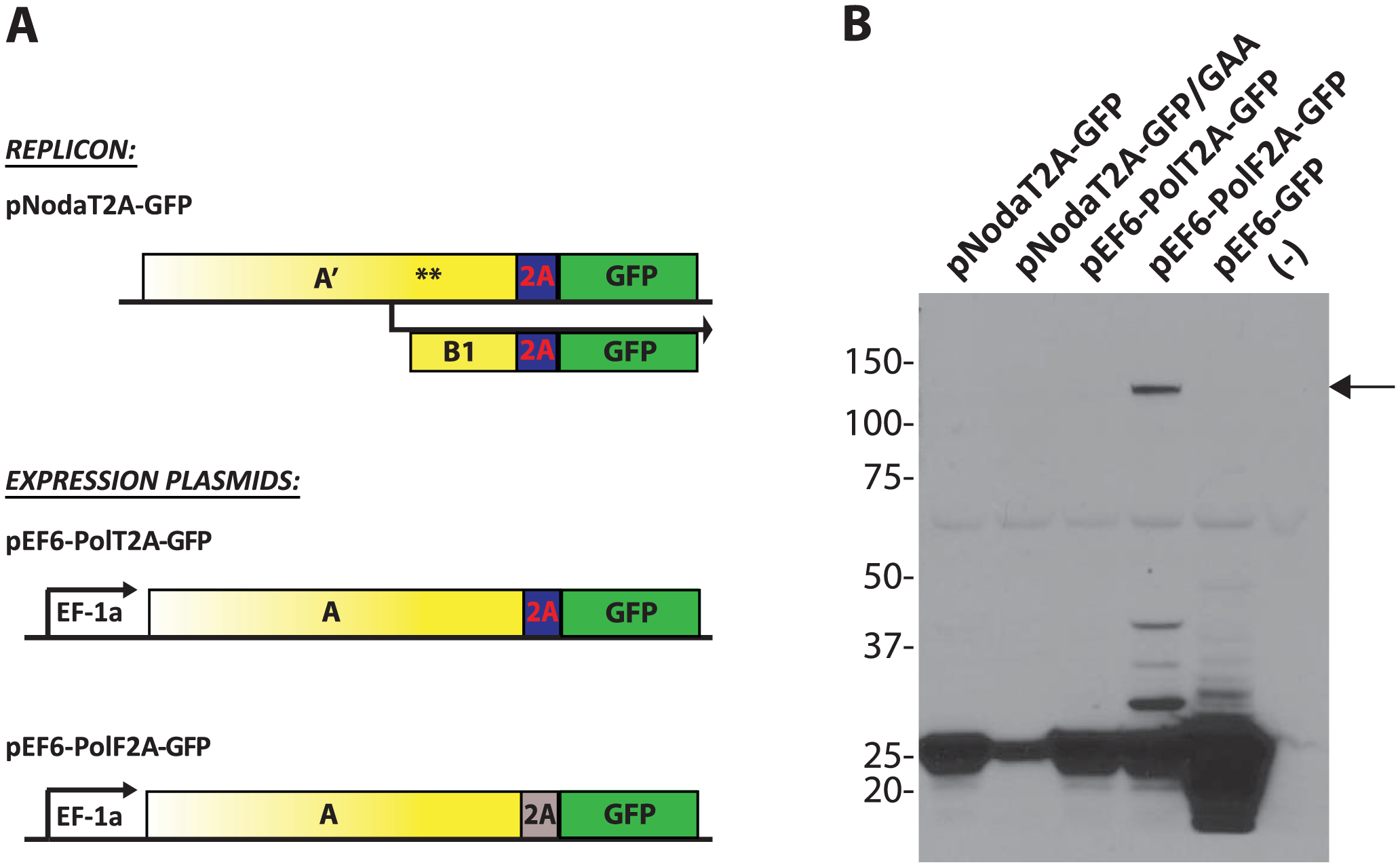 Processing of the GFP transgene by 2A cleavage peptides.
