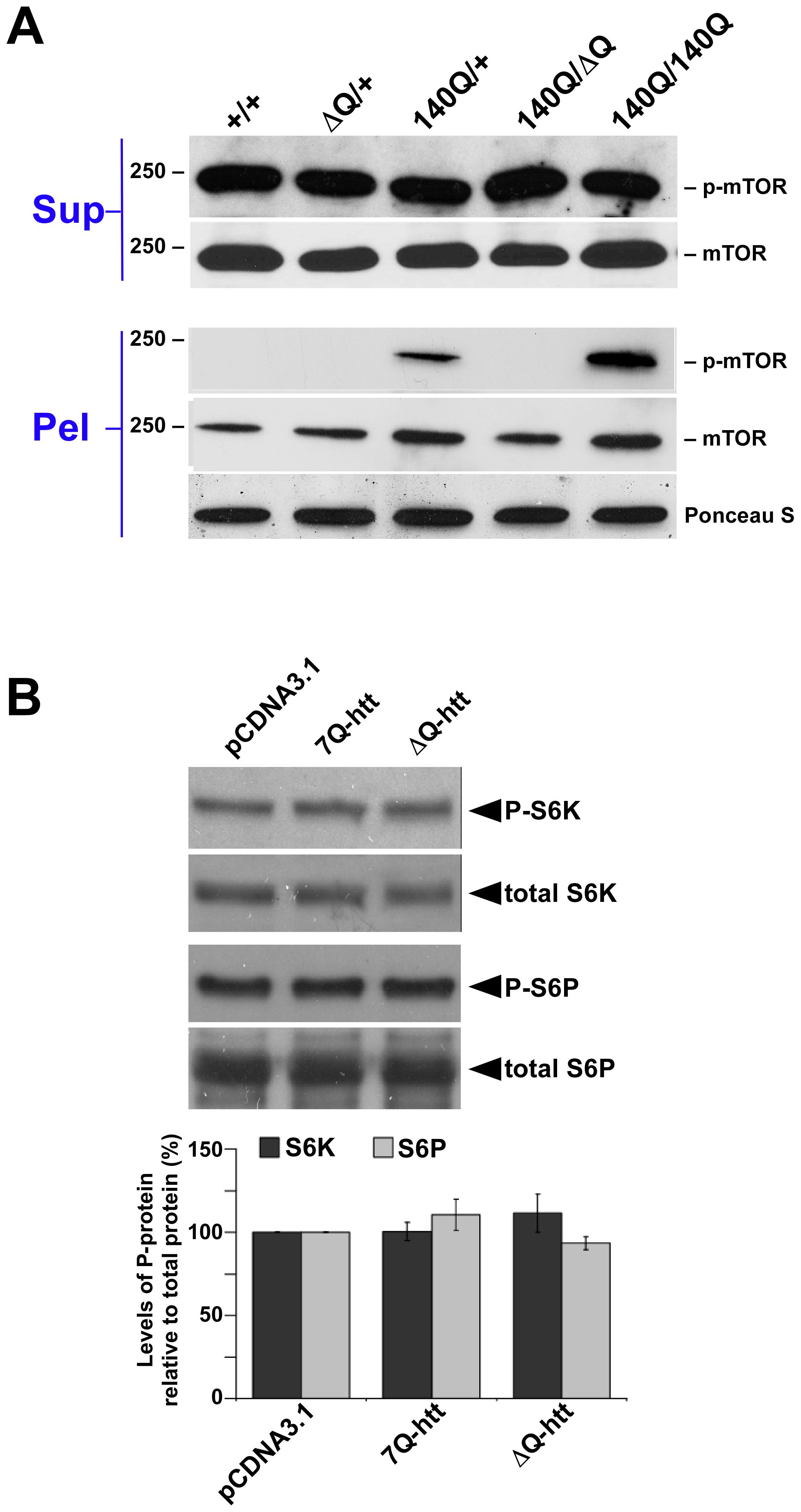 ΔQ-htt expression stimulates autophagy through an mTOR–independent mechanism.